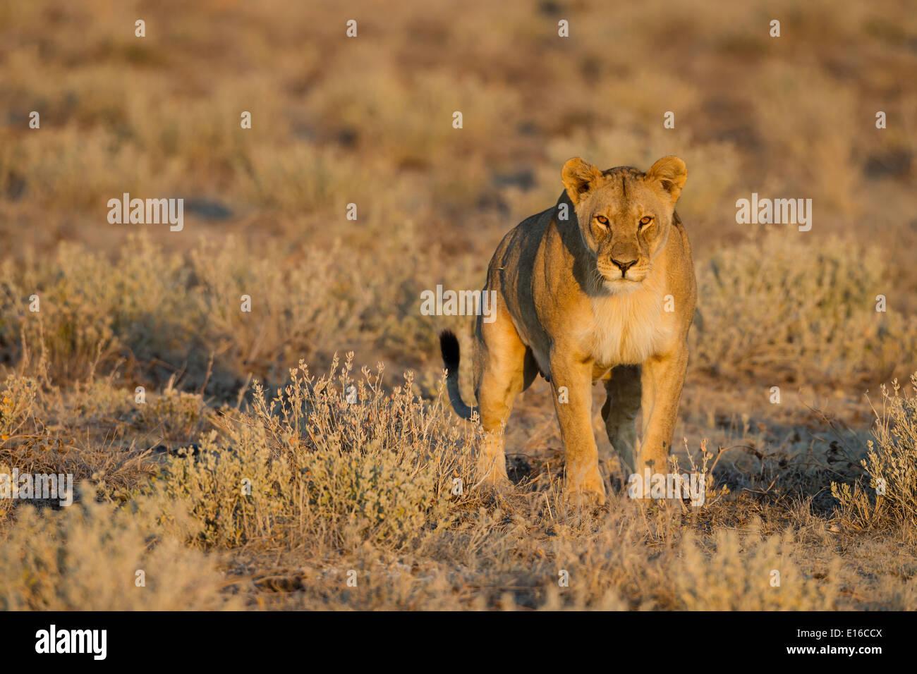 Un leone femminile Immagini Stock