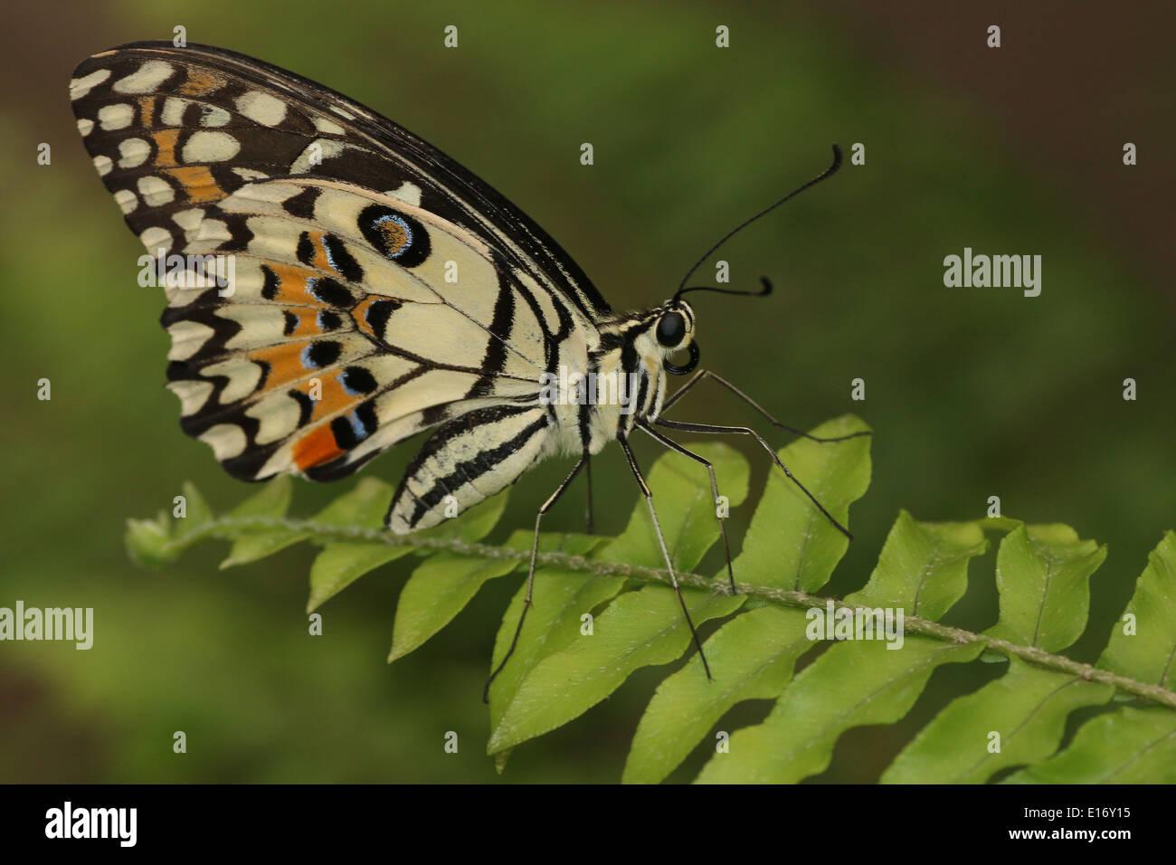 A coda di rondine a scacchi (Papilio demoleus) a.k.a. Farfalla di limone, calce Butterfly, calce a coda di rondine o piccole farfalle di agrumi Immagini Stock