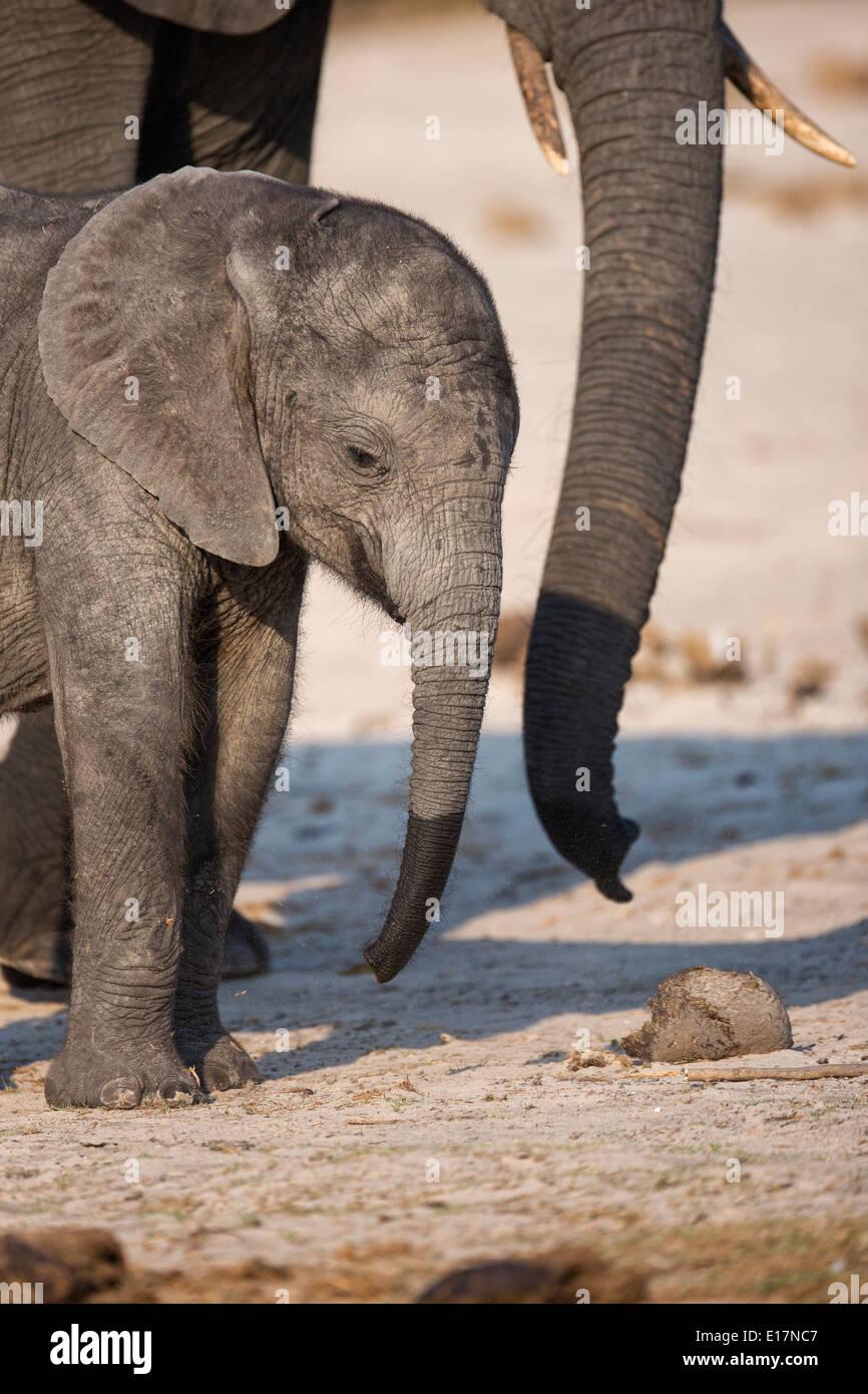 Elefante africano (Loxodonta africana)i giovani vitelli e madre sulle rive del fiume Chobe.Chobe National Park.Botswana Immagini Stock