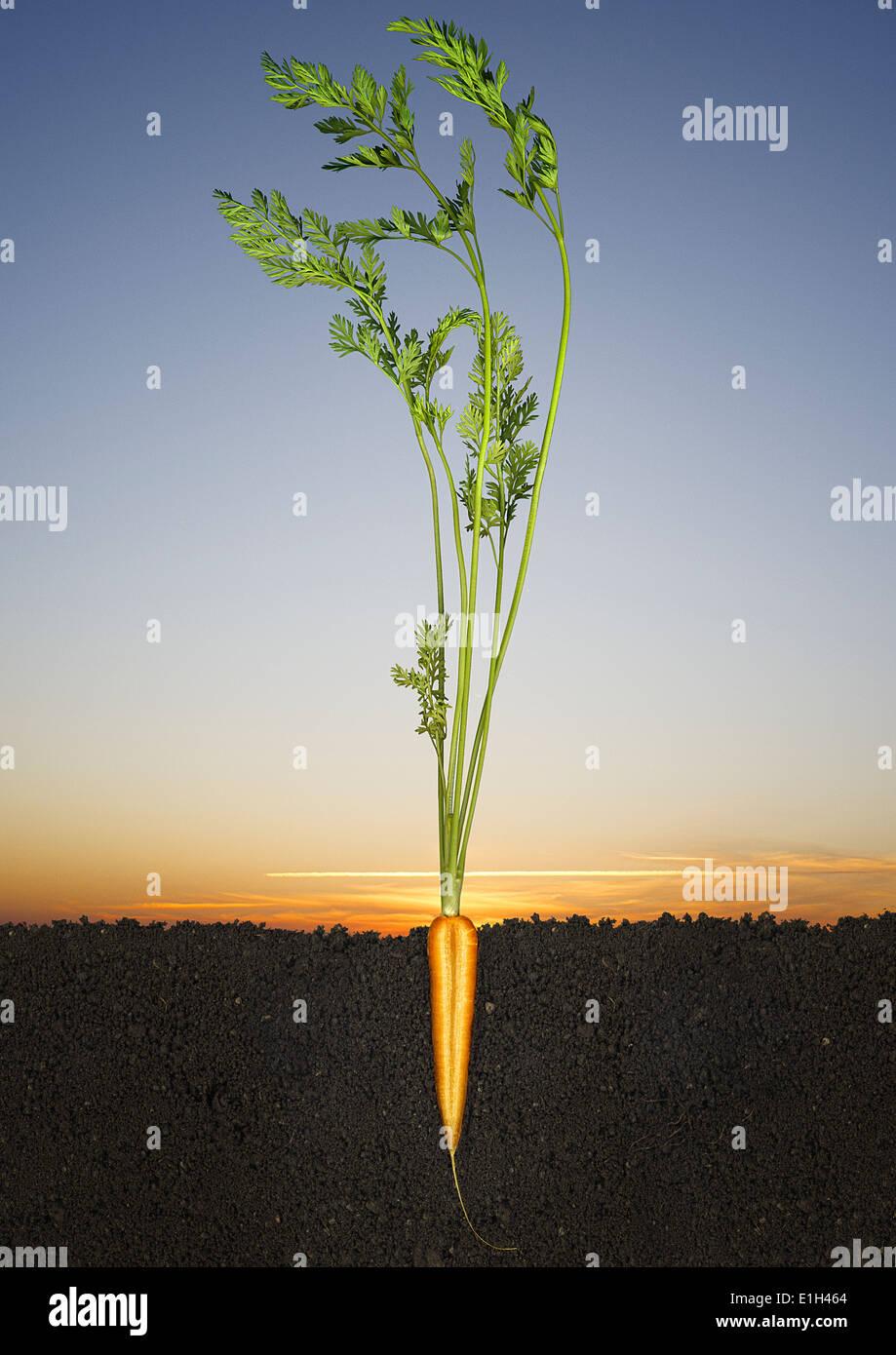 Tagliate a metà la carota crescere in terreno Immagini Stock