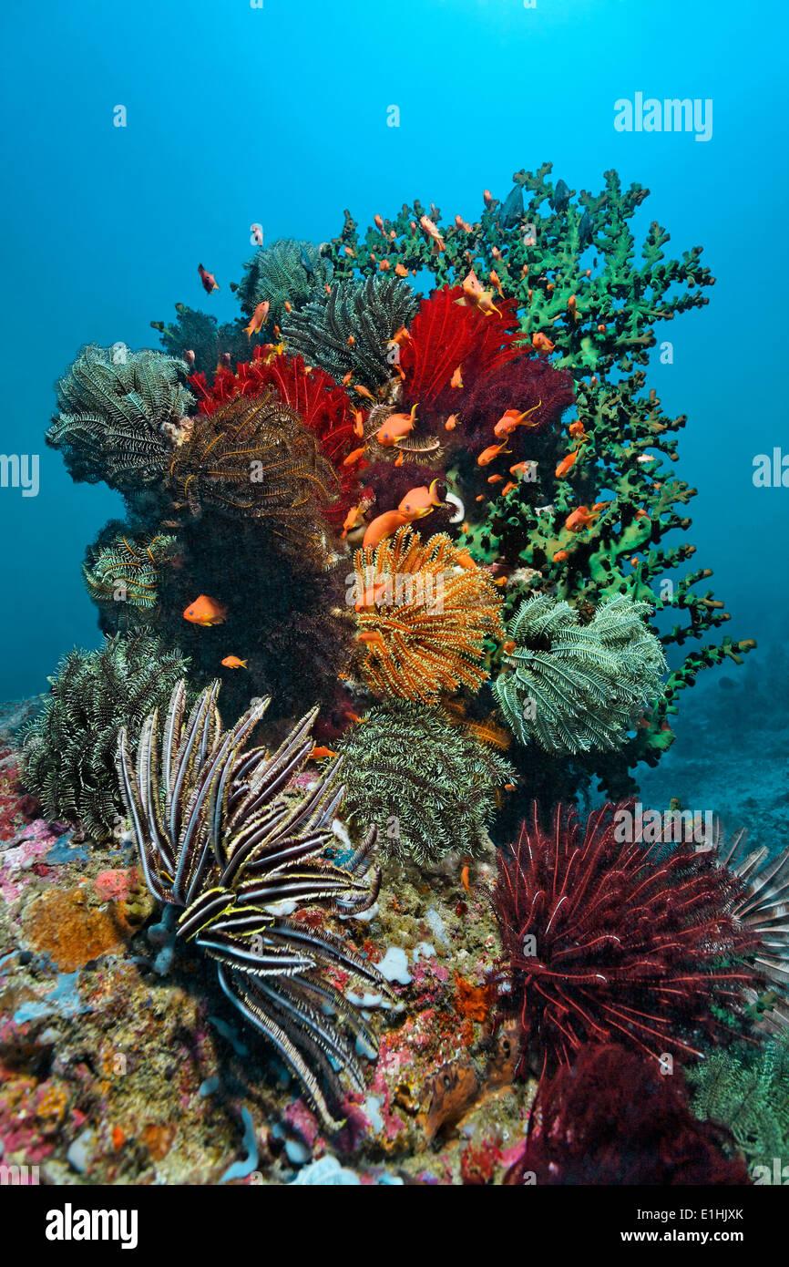Blocco di corallo con un sacco di stelle piuma (Crinoidea), coralli e Sabang Beach, Puerto Galera, Mindoro Island, Filippine Immagini Stock