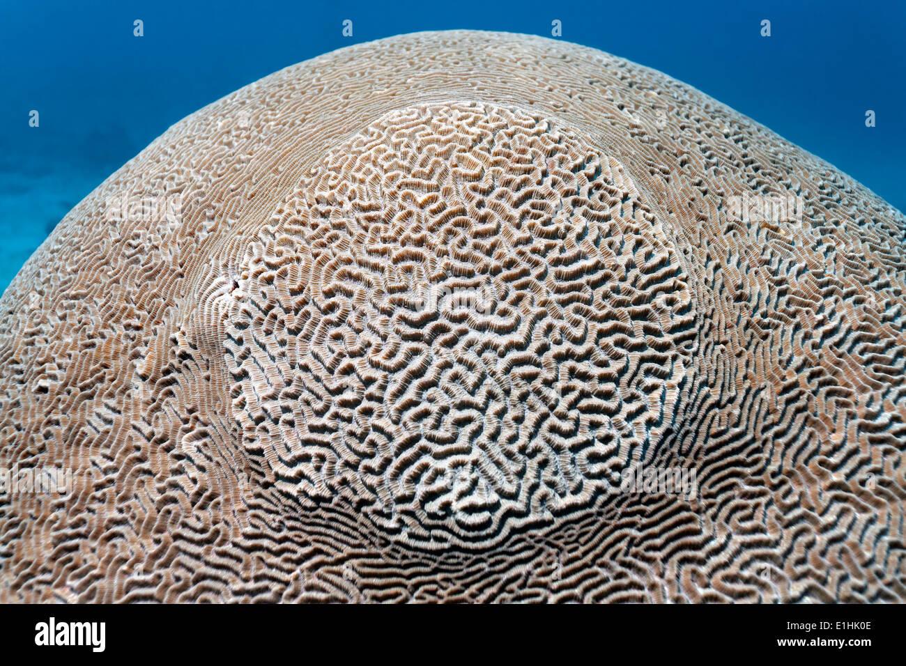 Labirinto di corallo del cervello (Platygyra lamellina), Sabang Beach, Puerto Galera, Mindoro Island, Filippine Immagini Stock