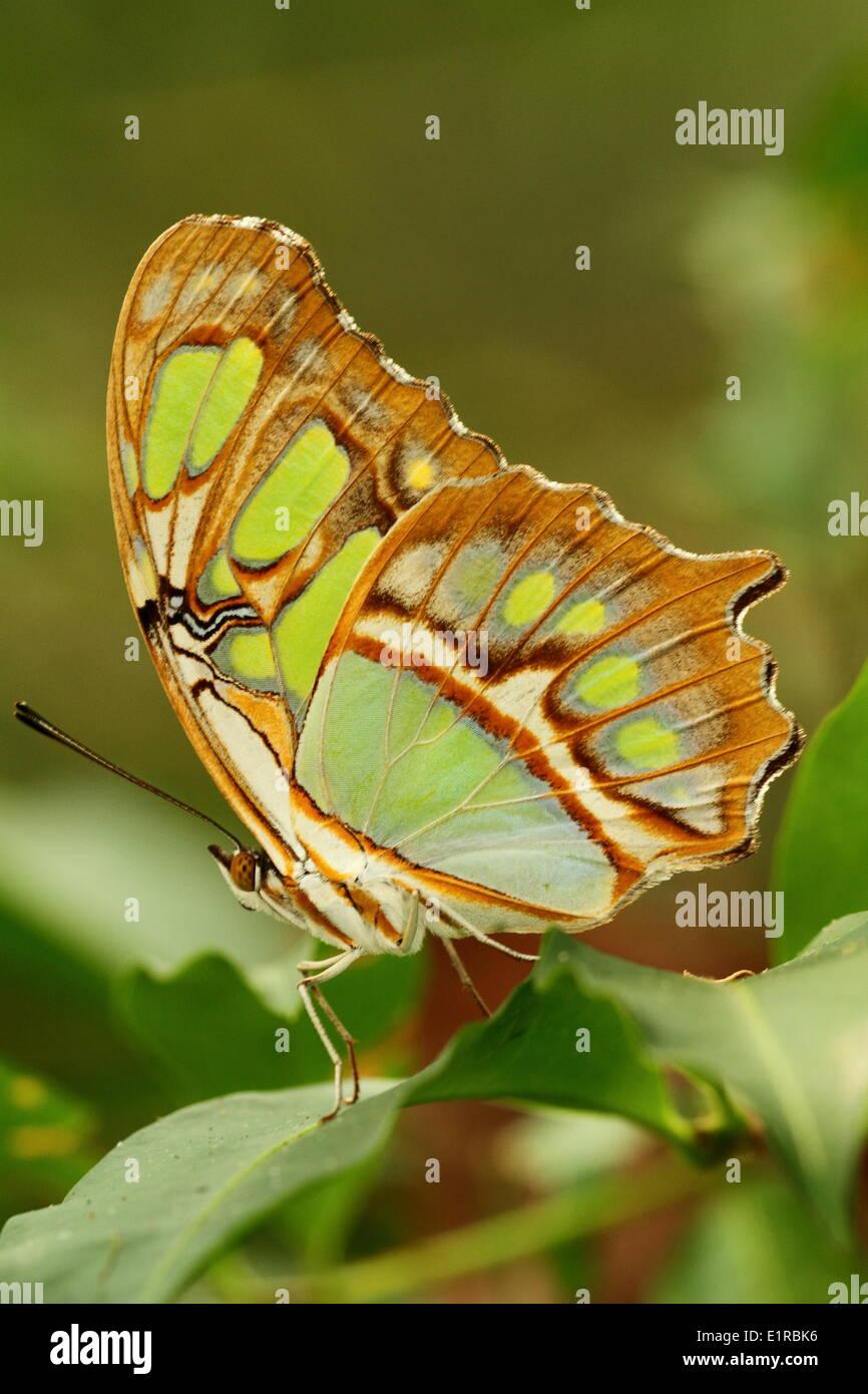 Foto verticale di farfalle tropicali Immagini Stock