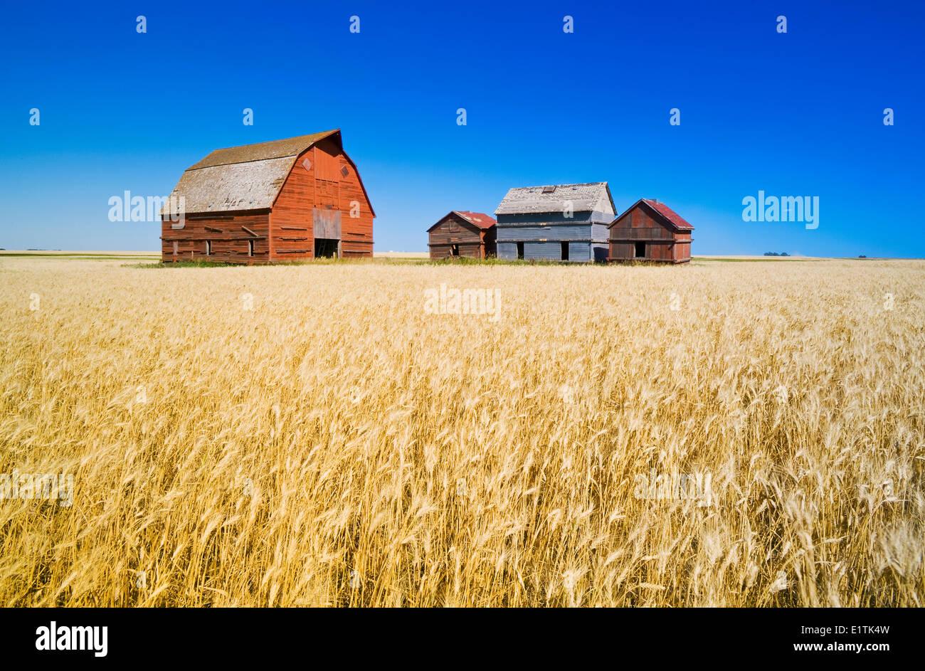 Vecchi contenitori del cereale e granaio rosso accanto al campo di grano, nei pressi di Regina, Saskatchewan, Canada Immagini Stock