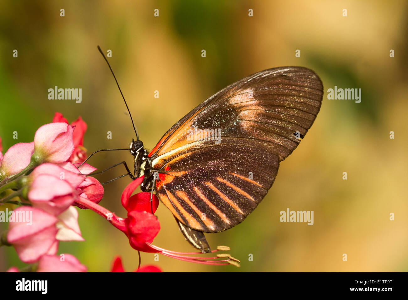 Farfalle tropicali, Uknown specie, Mindo, Ecuador Immagini Stock