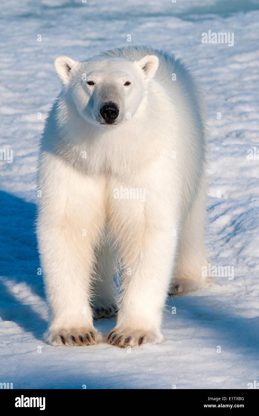 Orso polare (Ursus maritimus) sulla banchisa, arcipelago delle Svalbard, artico norvegese Immagini Stock