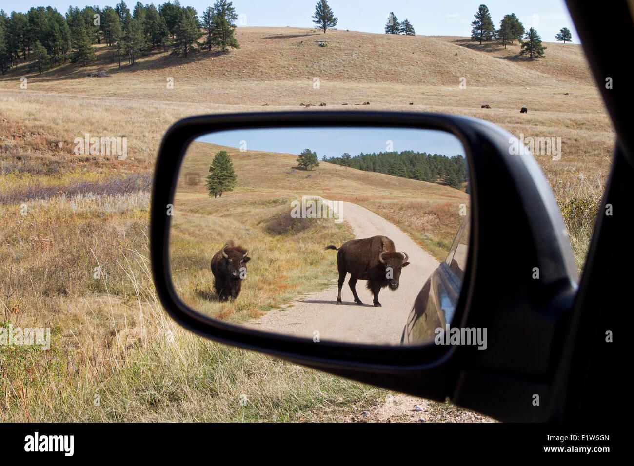 Pianure (Bison bison bison bison) in specchietto retrovisore (e allevamento in distanza), Custer State Park, Sud Immagini Stock