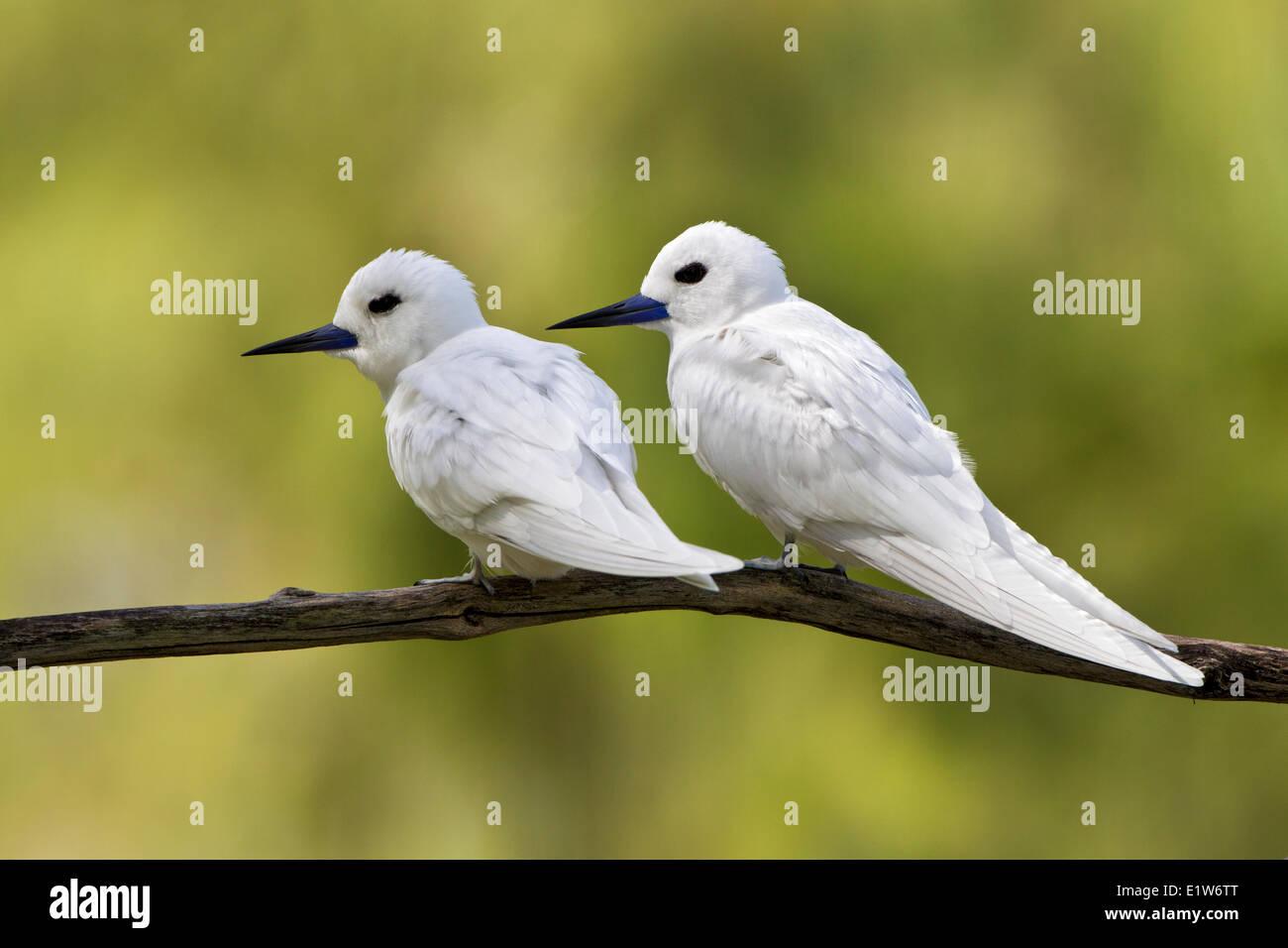 Bianco (tern Gygis alba rothschildi), coppia, isola di sabbia, Midway Atoll National Wildlife Refuge, Northwest Immagini Stock