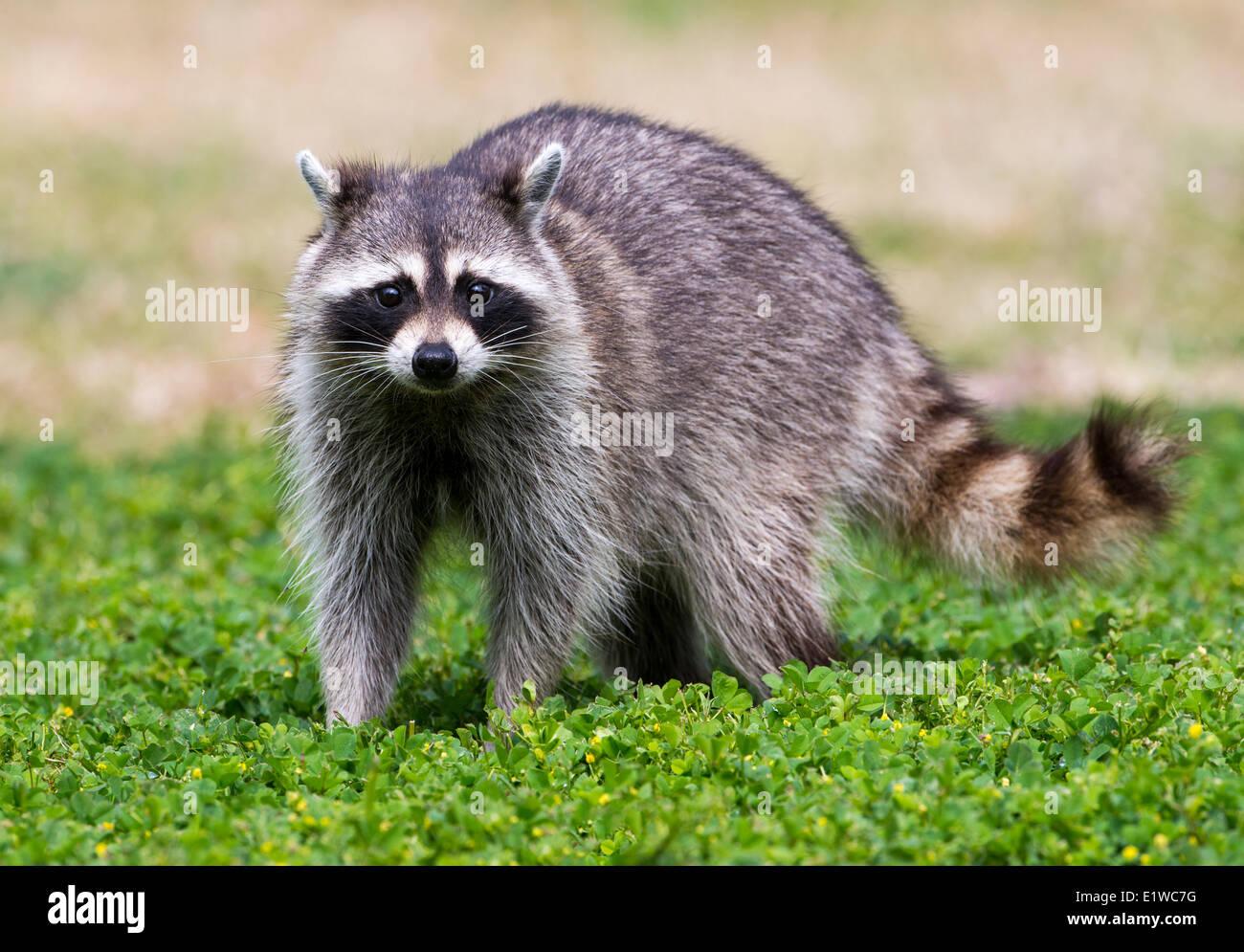 Raccoon (Procione lotor) - Fort Desoto parco statale, Florida Immagini Stock