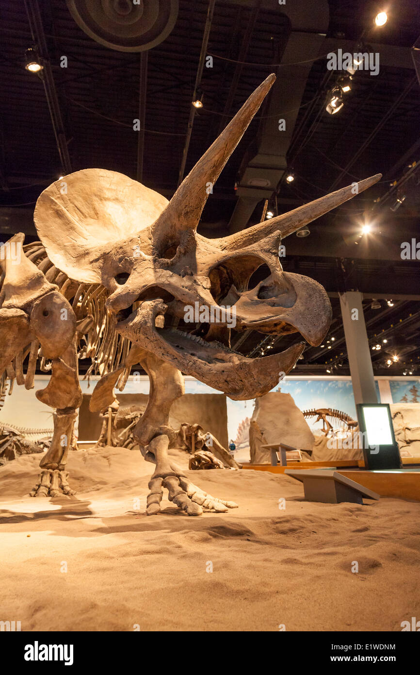 Triceratops fosil ricostruzione in un dinosauro presentano all'interno del Royal Tyrrell Museum North Drumheller in Midland provinciale Foto Stock