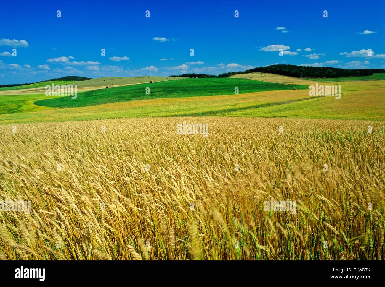 Molla di maturazione campo di grano con campi di erba medica a distanza, Tiger colline, Manitoba, Canada Immagini Stock