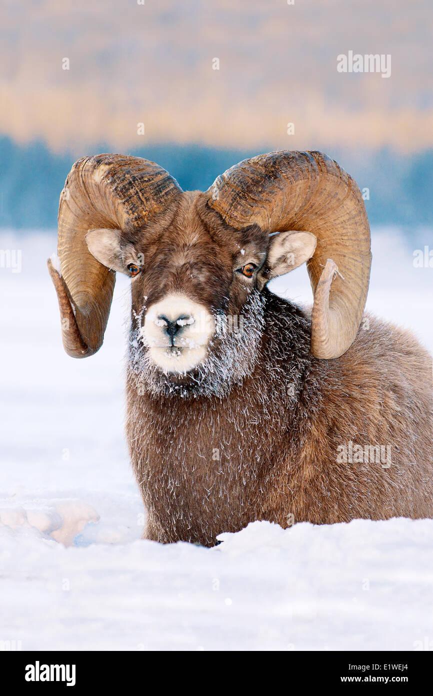 Bighorn ram (Ovis canadensis), con gelo-coperto muso a -28C, il Parco Nazionale di Jasper, Alberta, Canada Immagini Stock