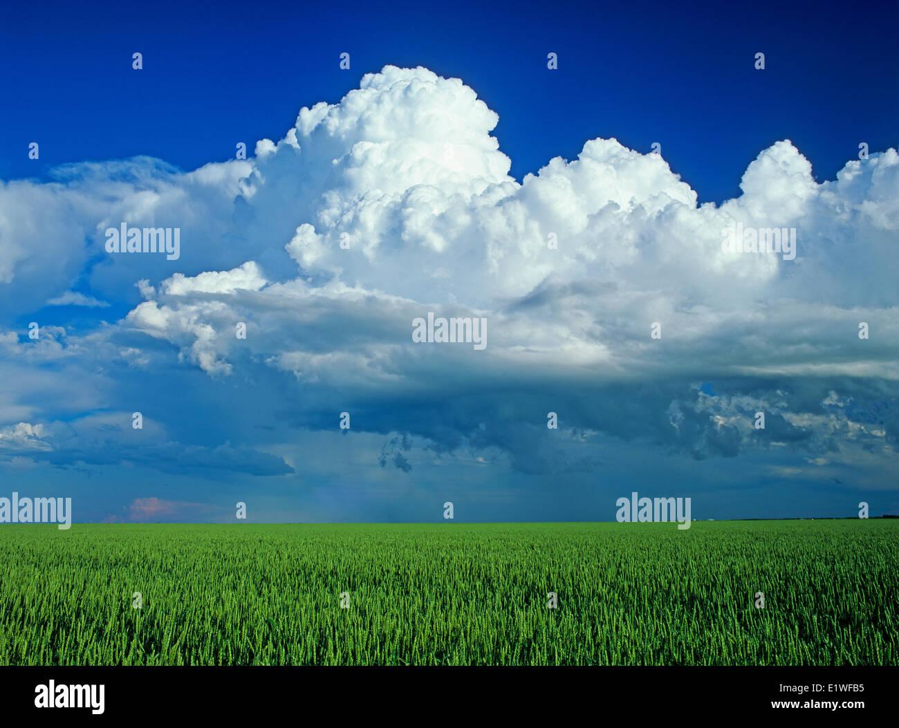 Campo di grano con un cumulonimbus cloud messa in background nei pressi di San Pierre Joly, Manitoba, Canada Immagini Stock