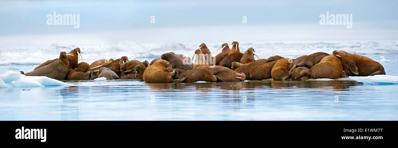 Pacific tricheco, Odobenus rosmarus, tirate fuori sul ghiaccio del mare Artico Canadese, Immagini Stock