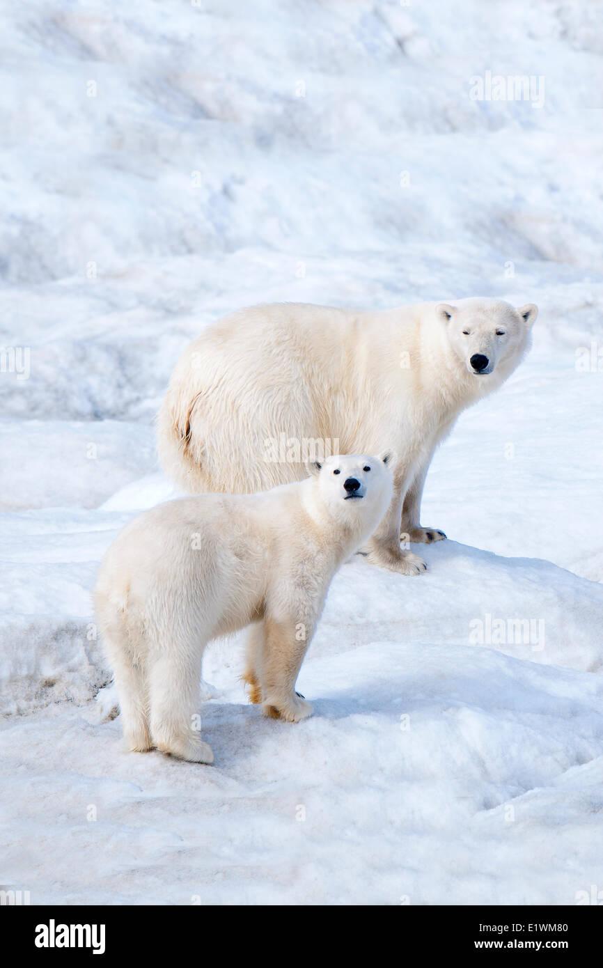 Orso polare madre (Ursus maritimus) e cub Wrangel Island, Chukchi Mare Artico, Russia Immagini Stock