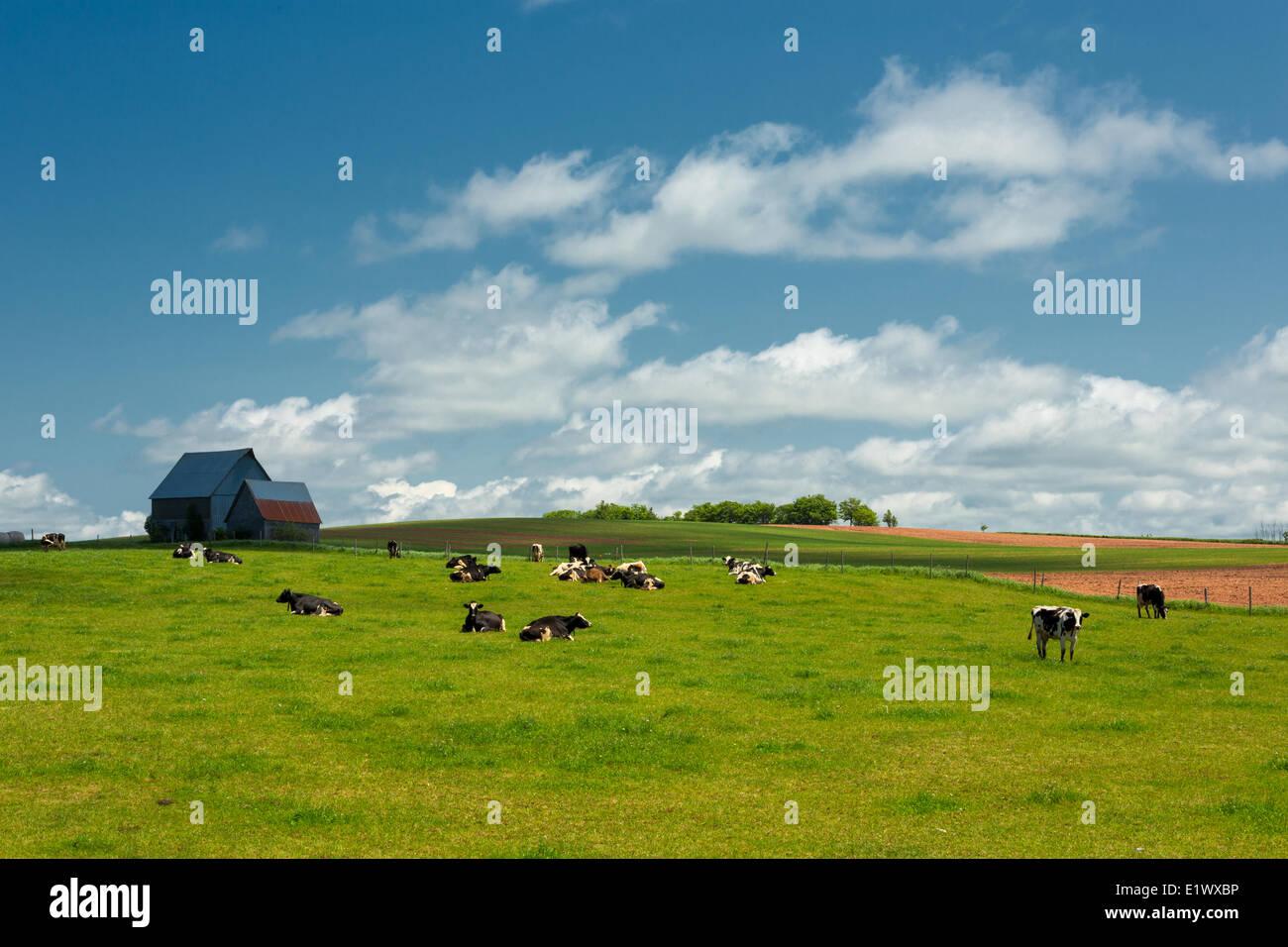 Vacche da latte e fienile, Summerfield, Prince Edward Island, Canada Immagini Stock