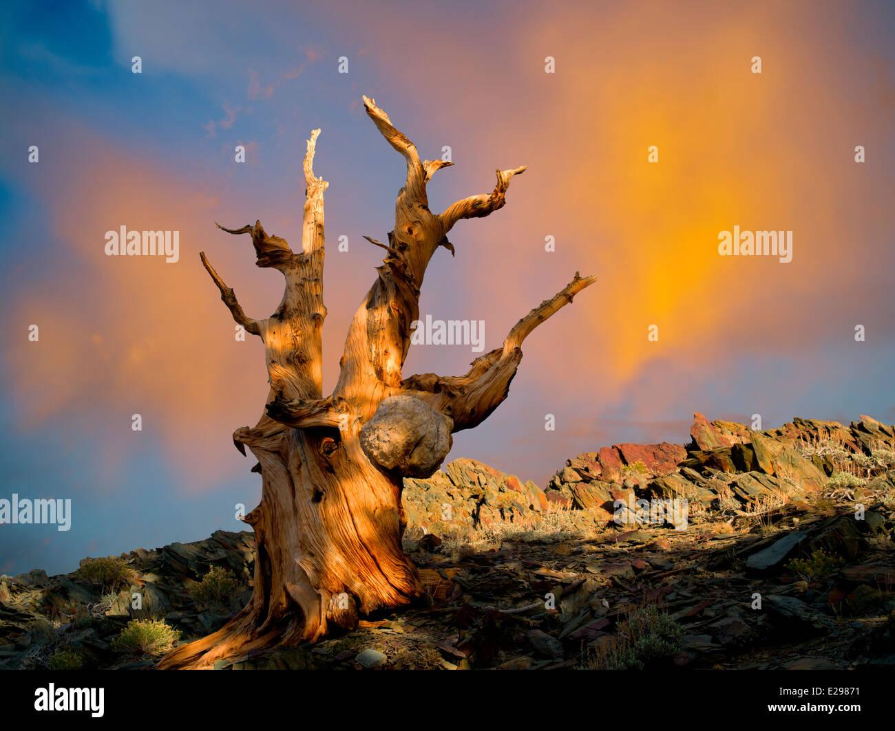 Bristlecone Pine Tree. Bristlecone antica foresta di pini, Inyo County, California Immagini Stock
