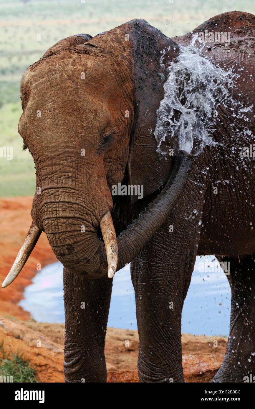 Kenya, Tsavo Est national park, elefante africano (Loxodonta africana) raffreddamento in una fonte di acqua Immagini Stock