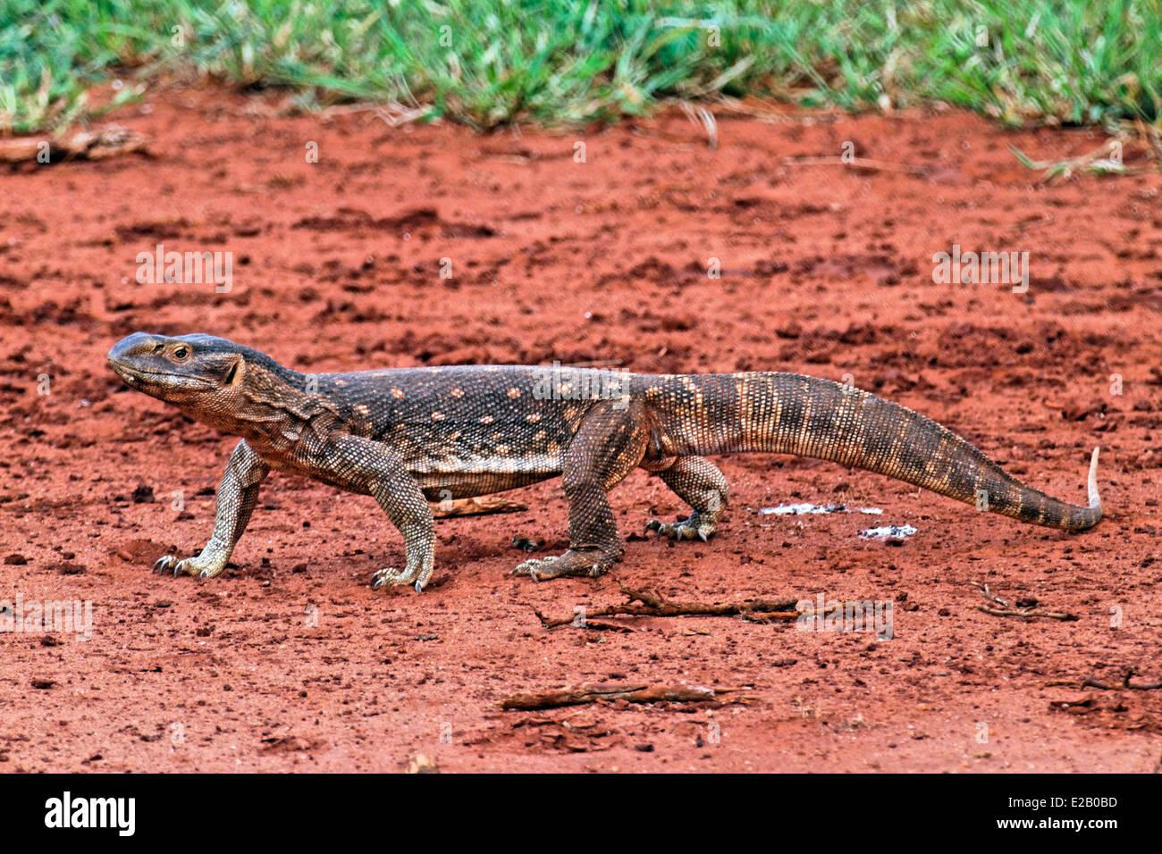 Kenya, Tsavo Est national park, iguana (Iguanidae) Immagini Stock