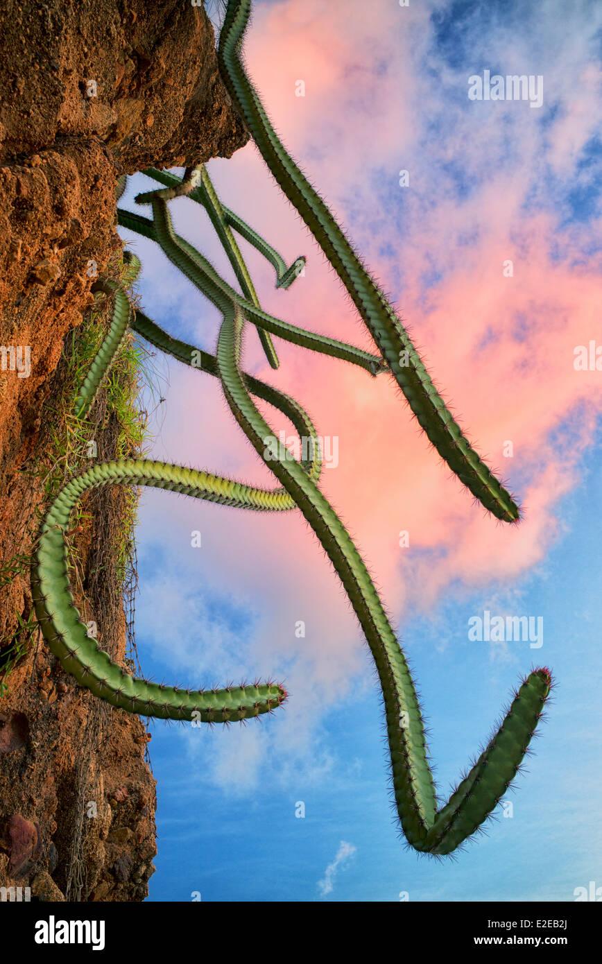 Cactus crescente sulla collina. Punta Mita, Messico Immagini Stock
