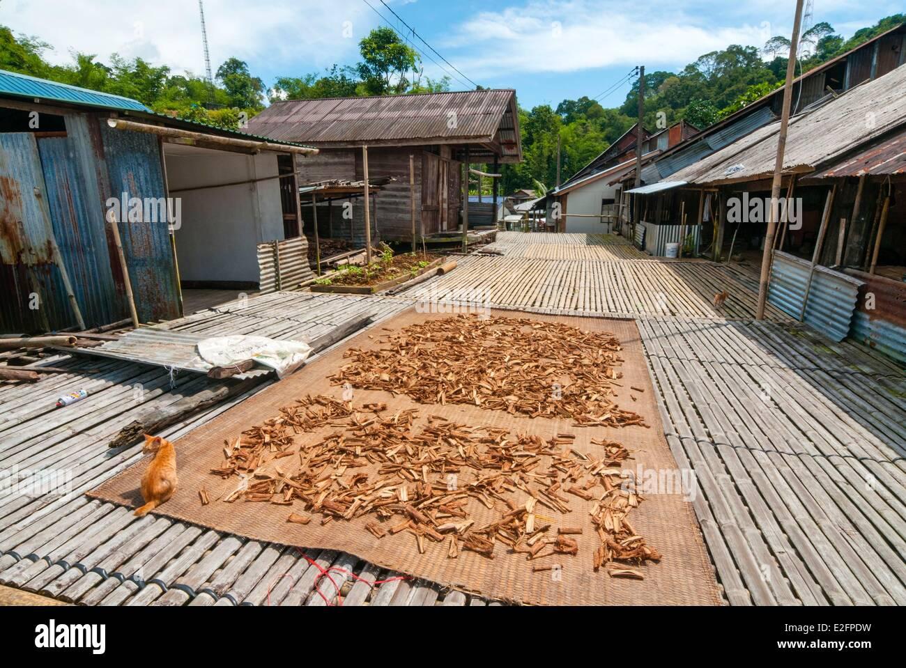 Malaysia Malaysian Borneo Sarawak Stato Kuching Annah Rais Bidayuh longhouse corteccia di China (China officinalis) Immagini Stock