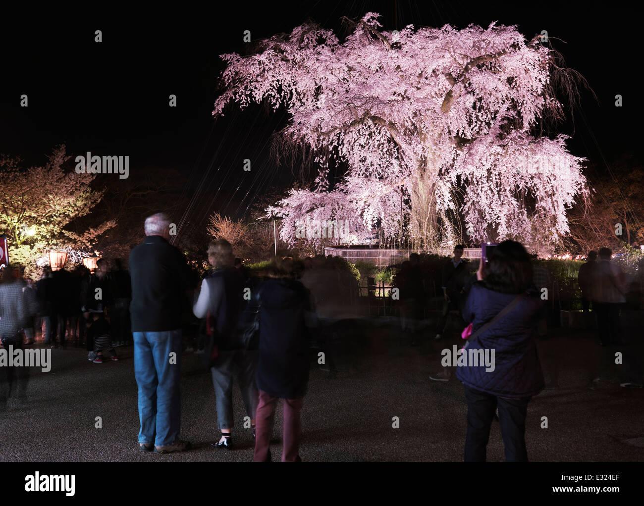 Ciliegio piangente, shidarezakura, illuminata di notte nel Parco di Maruyama, Gion, Kyoto, Giappone 2014 Immagini Stock