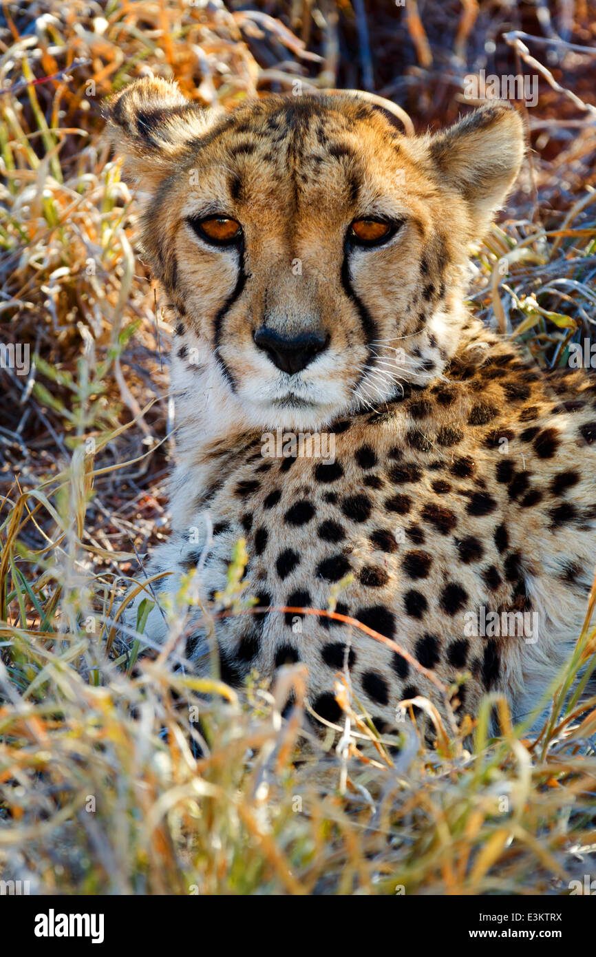 Vista di rilassata wild ghepardo guardando la savana in Namibia, Sud Africa Immagini Stock