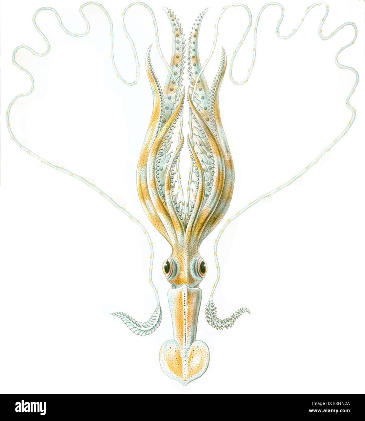 Chiroteuthis veranyi Haeckel Immagini Stock