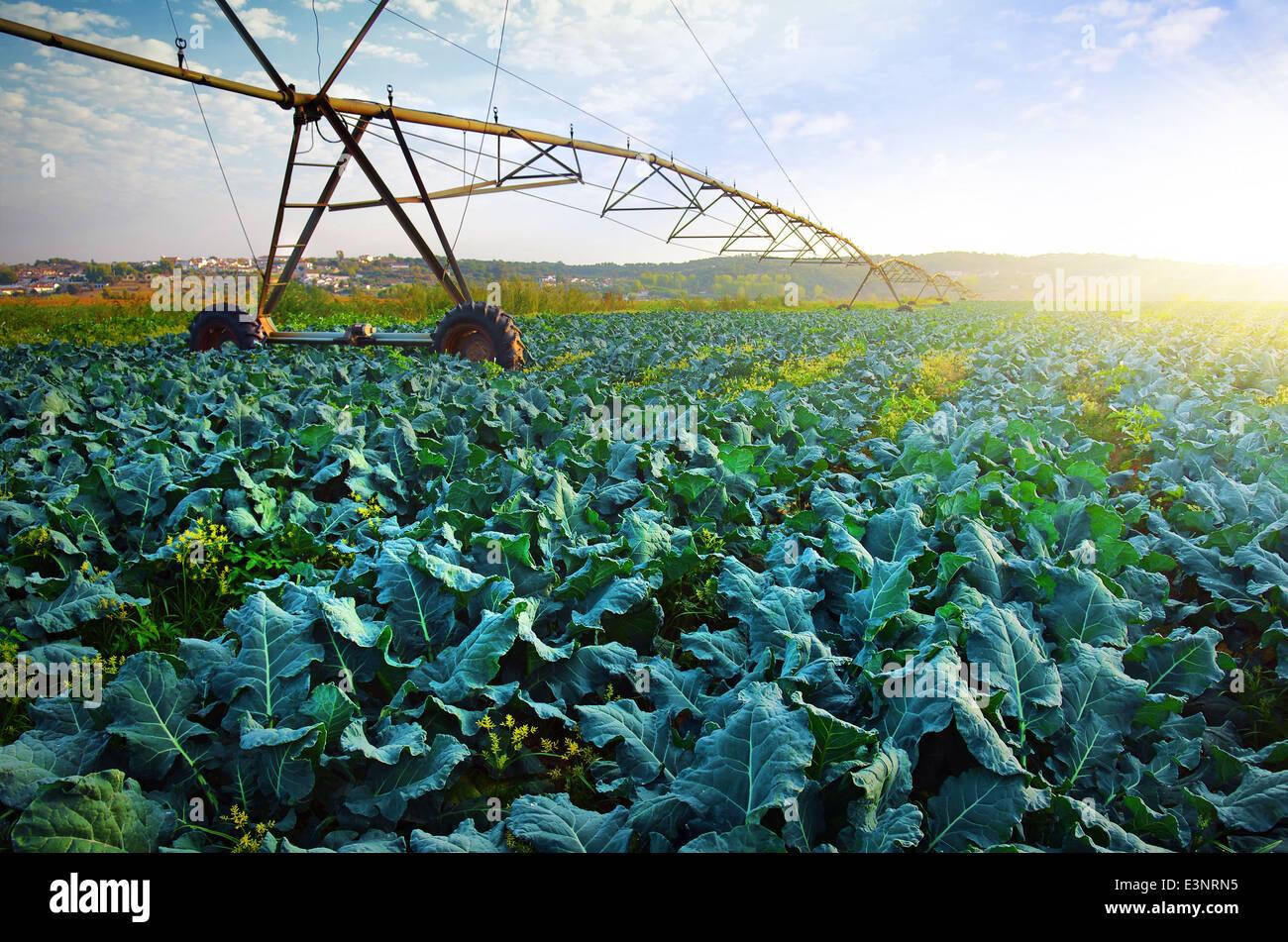 Agricoltura rurale campo con cultura di cavolo e moderno sistema di irrigazione. Immagini Stock