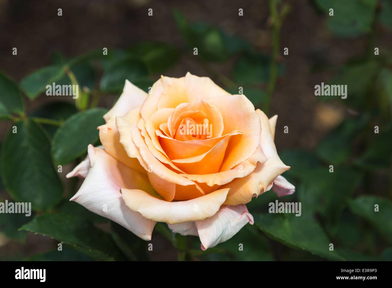 Unica fioritura di David Austin rose, arancio o che ricordano le ...