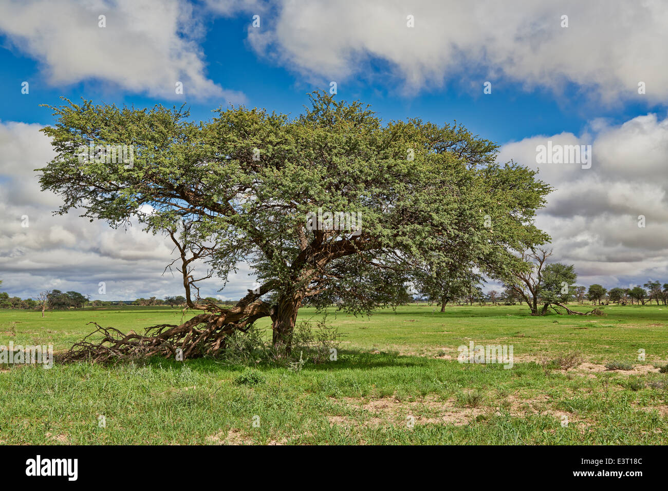 Paesaggio con alberi di acacia nel Kgalagadi Parco transfrontaliero, il Kalahari, Sud Africa, Botswana, Africa Immagini Stock