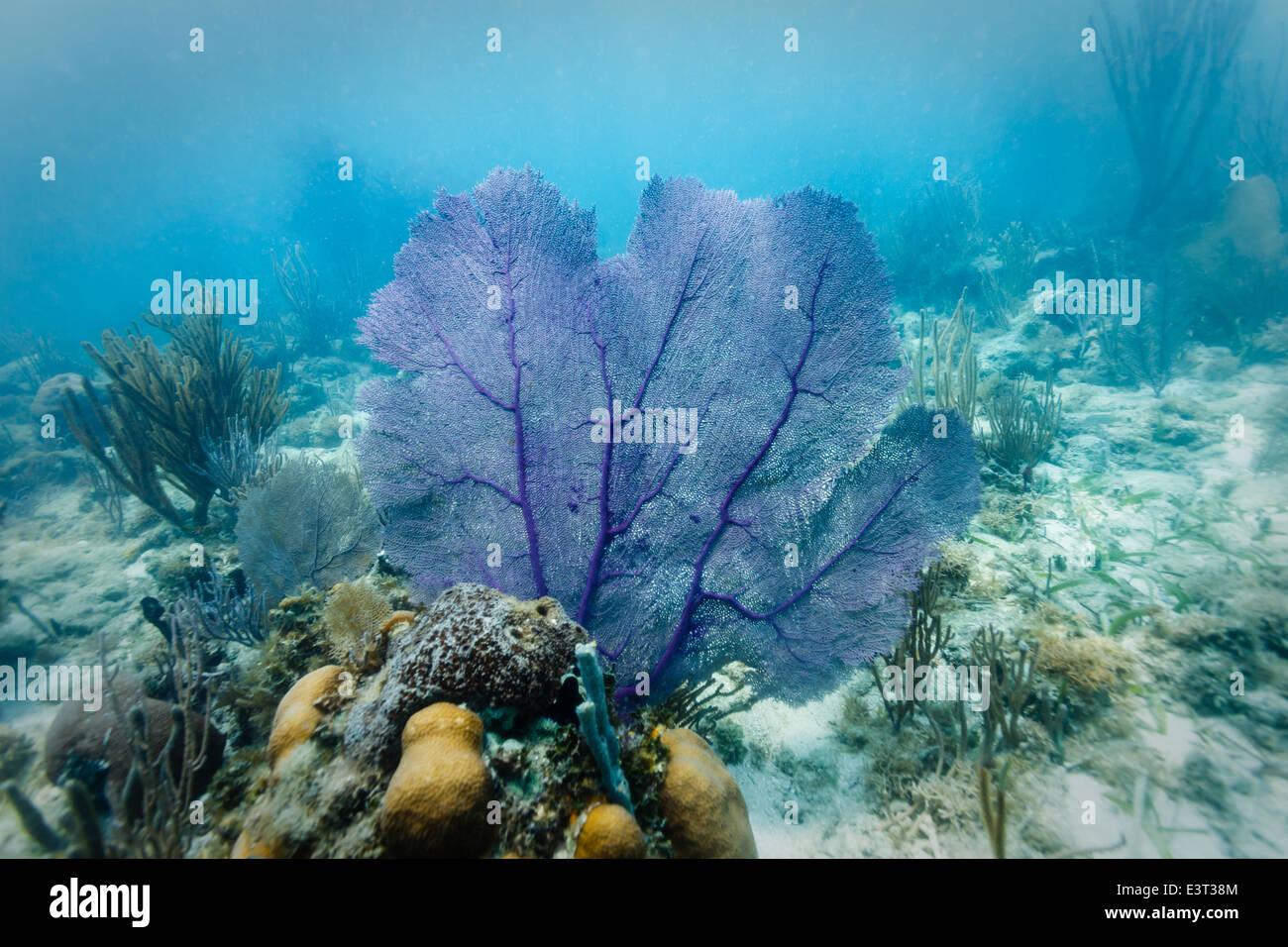 Viola mare fan visualizzata sul disco di colonie di corallo sulla barriera corallina off costa del Belize Immagini Stock