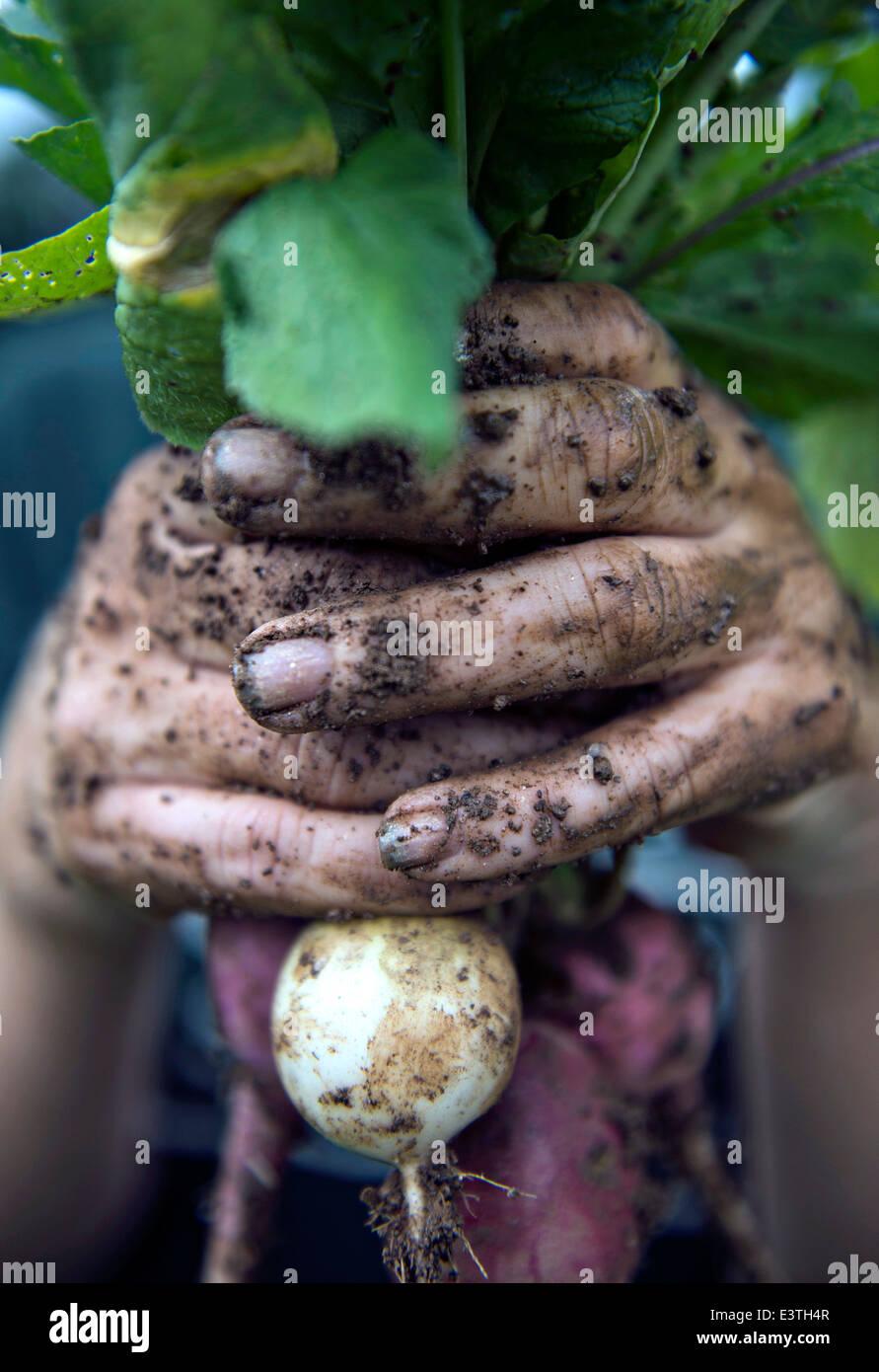 Un lavoratore può contenere fino a ravanello appena raccolto presso la Clark Family Farm Giugno 20, 2014 in Immagini Stock