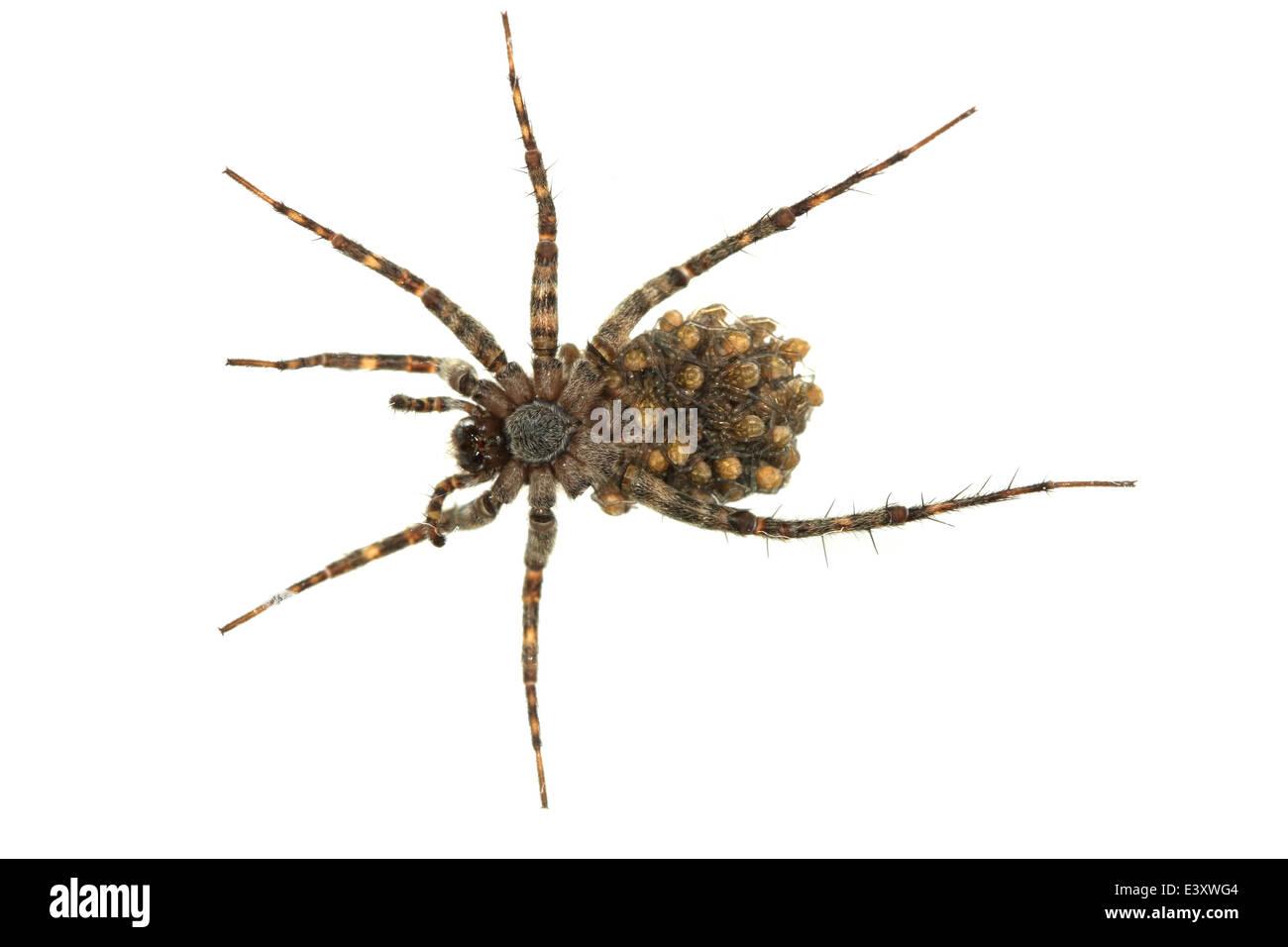 Pardosa amentata (Spotted wolf spider), parte della famiglia Lycosidae. Porta la sua spiderlings. Visto da sotto. Immagini Stock