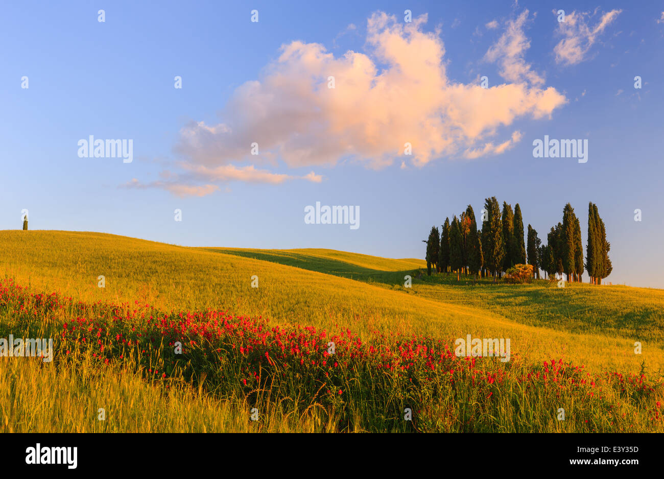 Cerchio di cipressi nei pressi di Torrenieri nel cuore della Toscana, Italia Immagini Stock