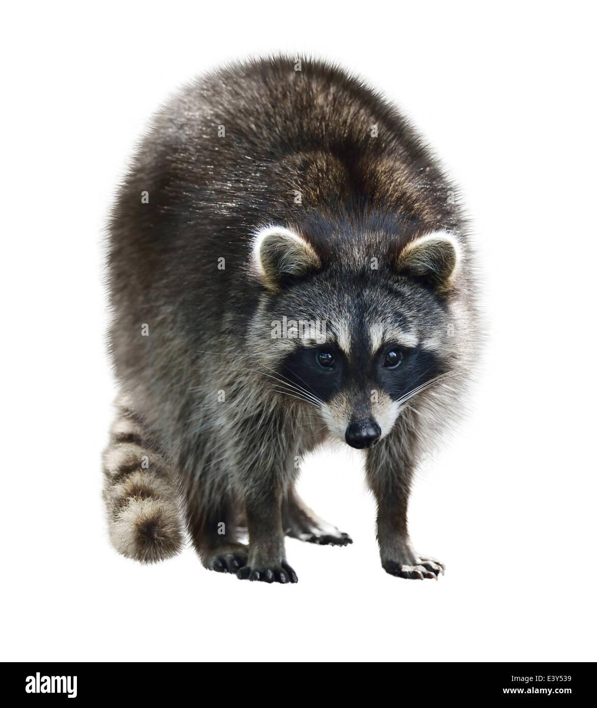 Giovani Raccoon isolati su sfondo bianco Immagini Stock