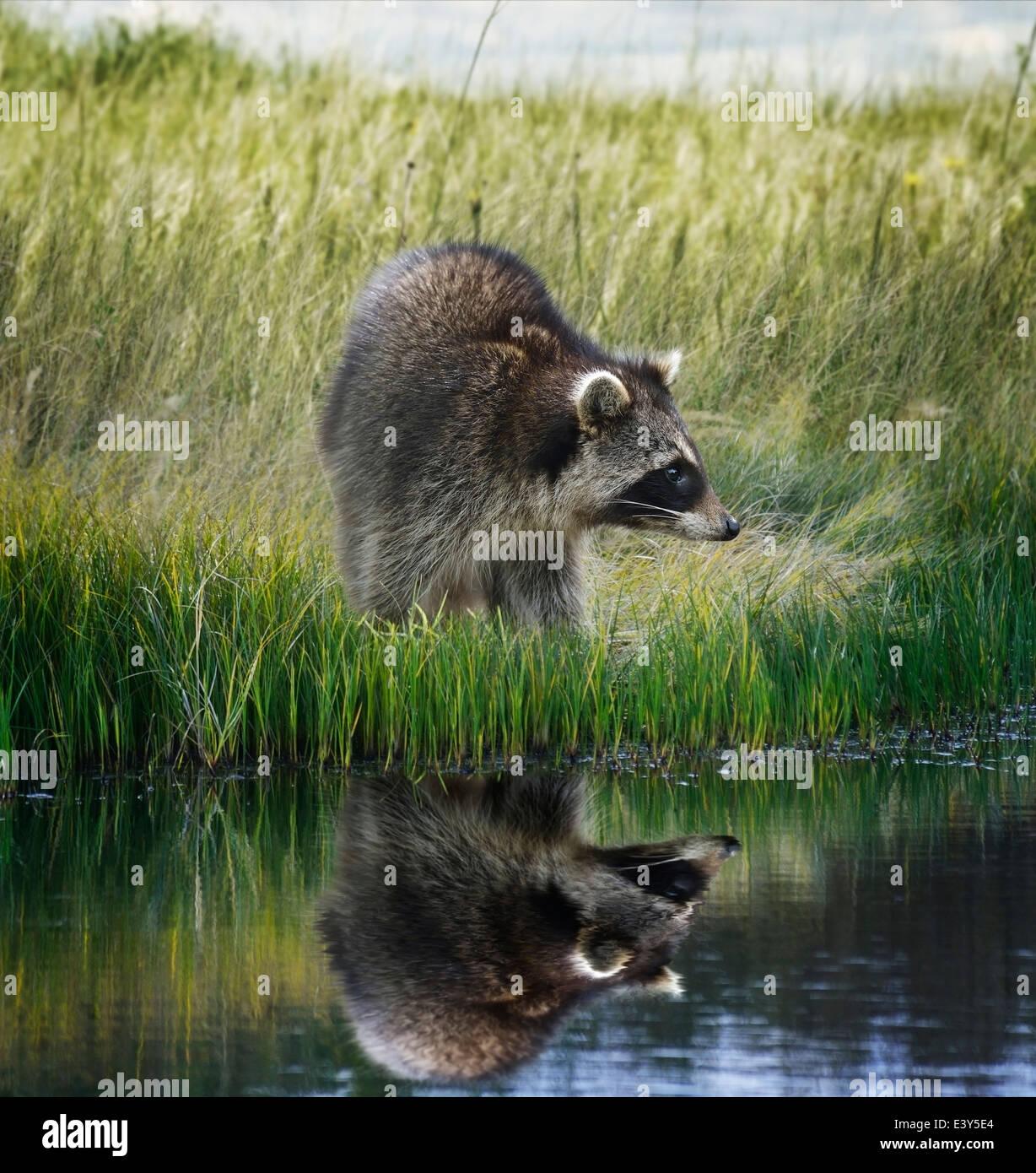 Raccoon sulla banca erbosa con la riflessione Immagini Stock