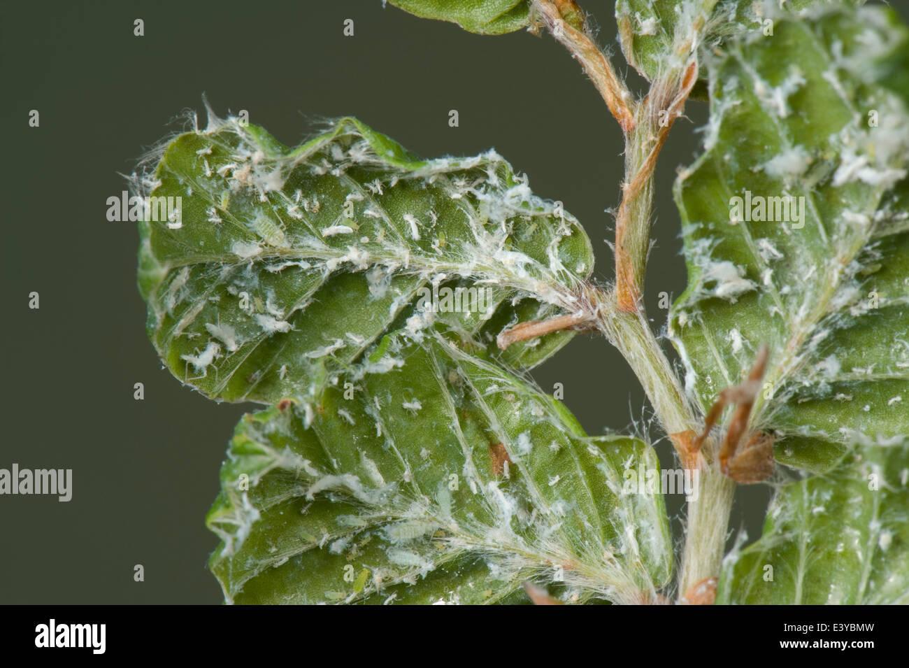 Lanosi afide del faggio, Phyllaphis fagi, sul lato inferiore del faggio giovani foglie di siepe Immagini Stock