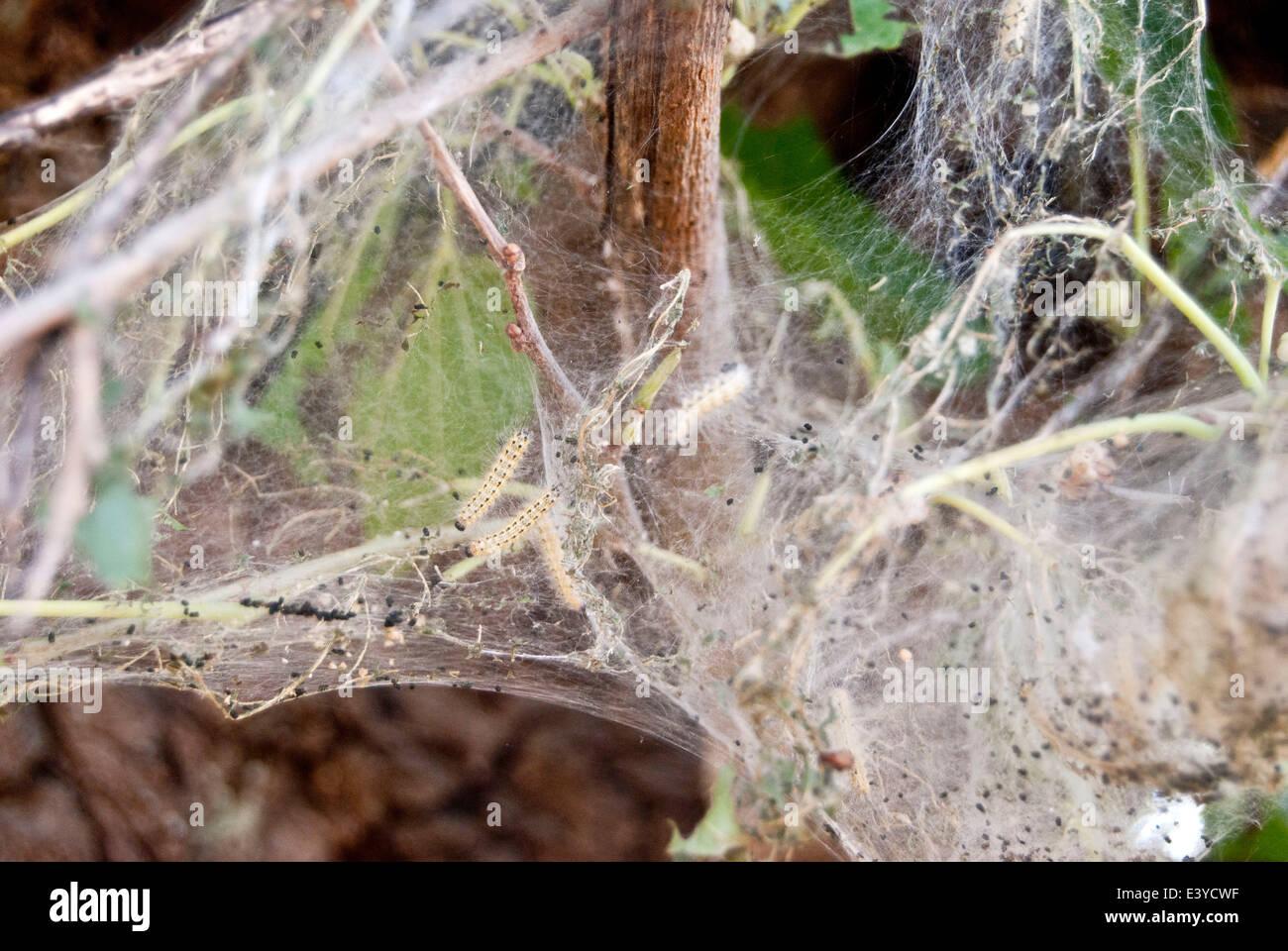 Silkworm su un gelso Immagini Stock