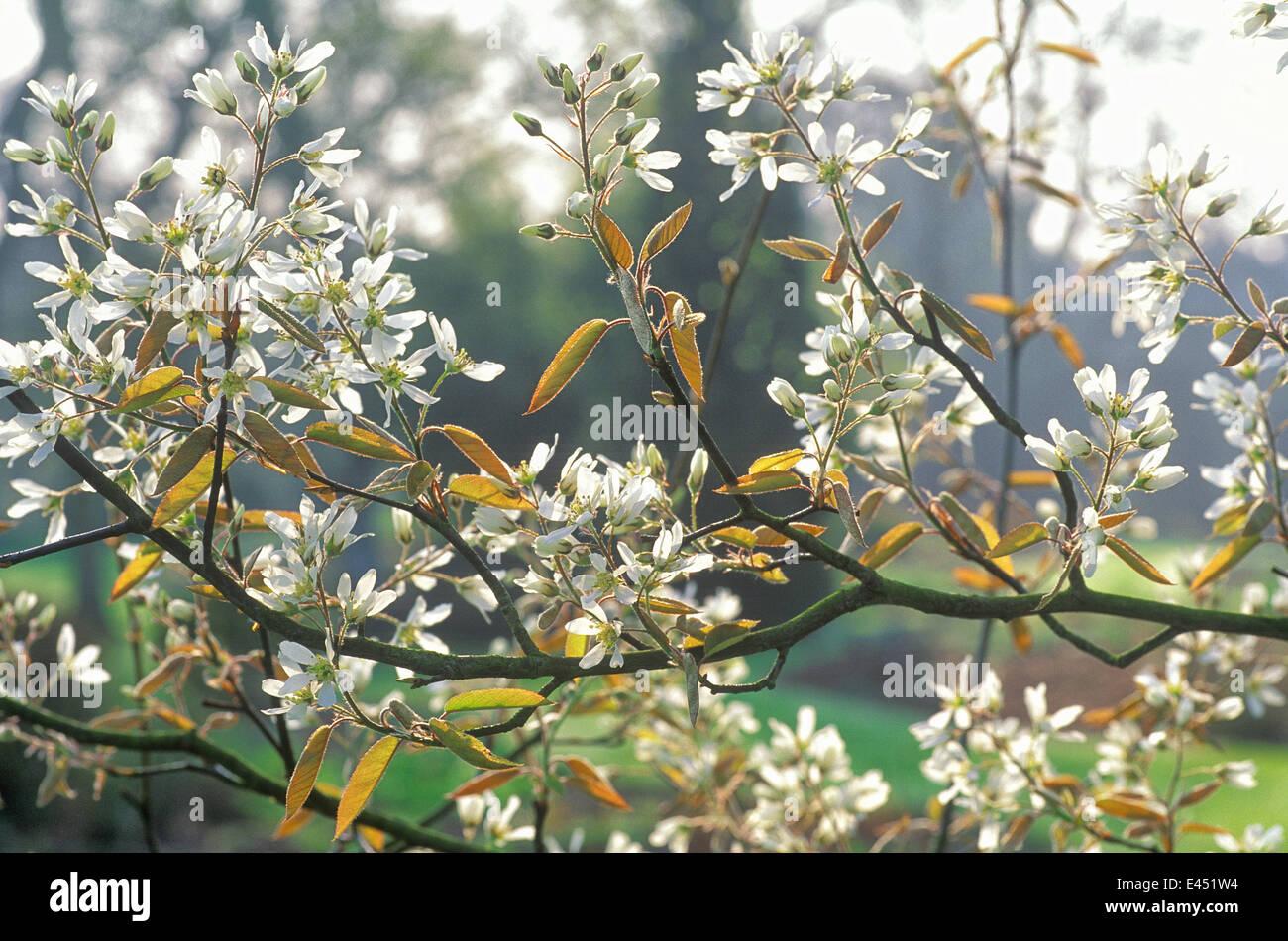 Fiori Bianchi Aprile.Amelanchier Canadensis Giugno Berry Albero Aprile Ritratto Di