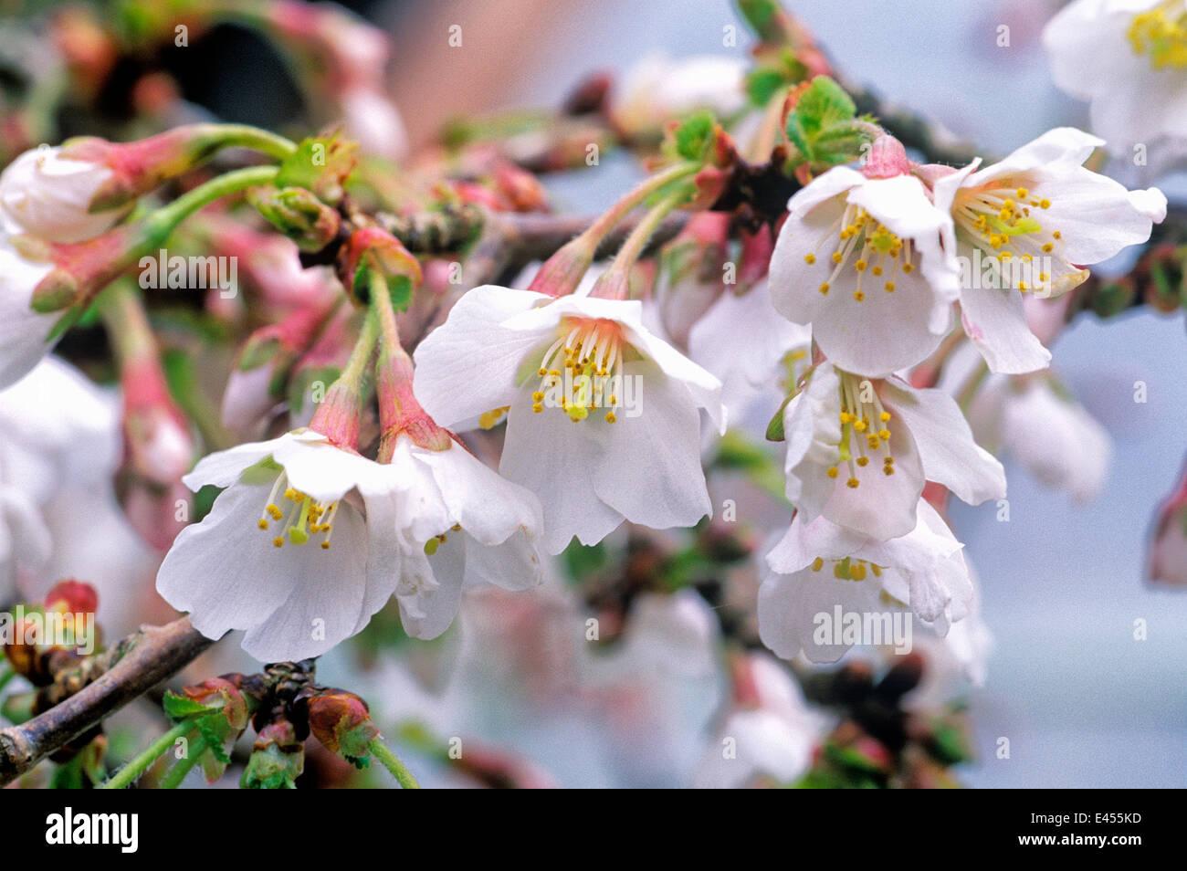 Fiori Bianchi Marzo.Prunus Incisa Kojo No Mai Fuji Ciliegia Fioritura Amarena