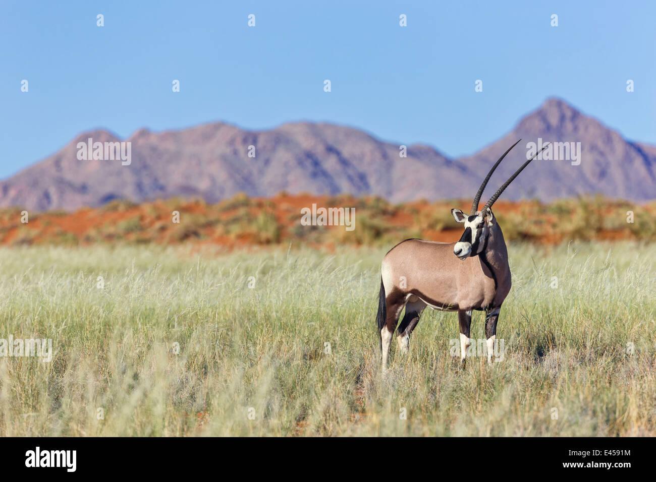 Gemsbok (Oryx gazella) Immagini Stock