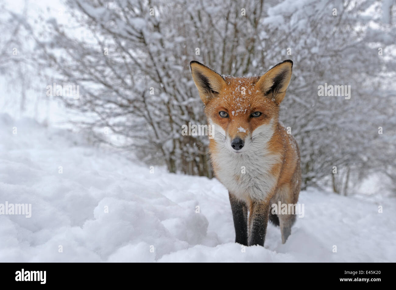 Rosso europeo volpe (Vulpes vulpes) nella neve, UK, captive Immagini Stock