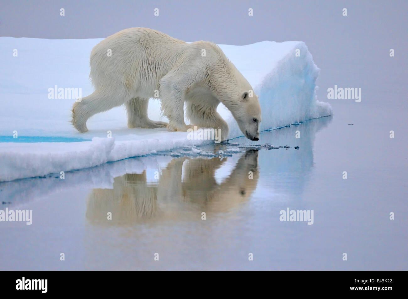 Orso polare (Ursus maritimus) circa per entrare in acqua, Svalbard, Norvegia, settembre 2009 Immagini Stock