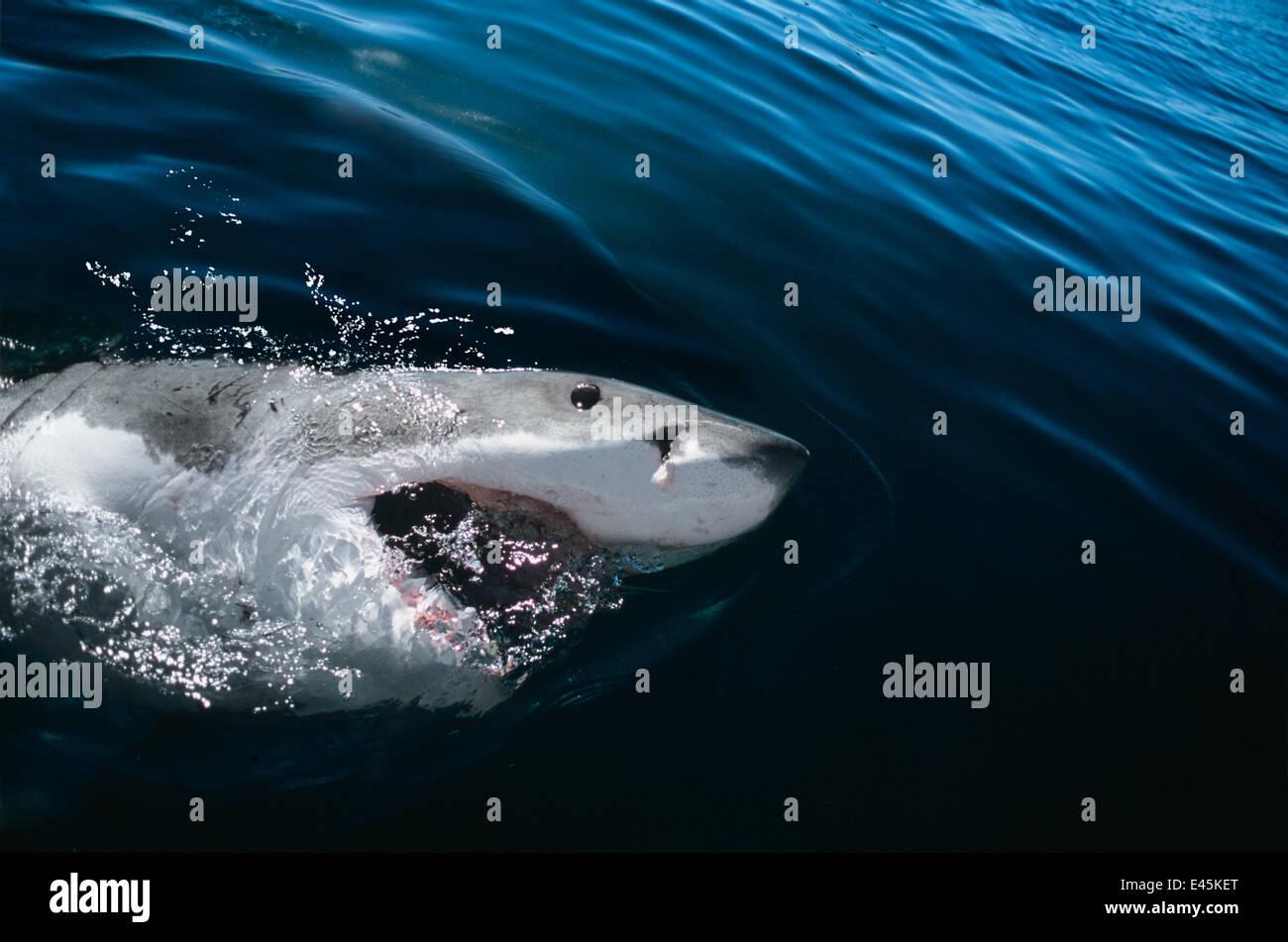 Il grande squalo bianco (Carcharodon carcharias) affiorante con la bocca aperta, Dyer Island, Sud Africa, Oceano Immagini Stock