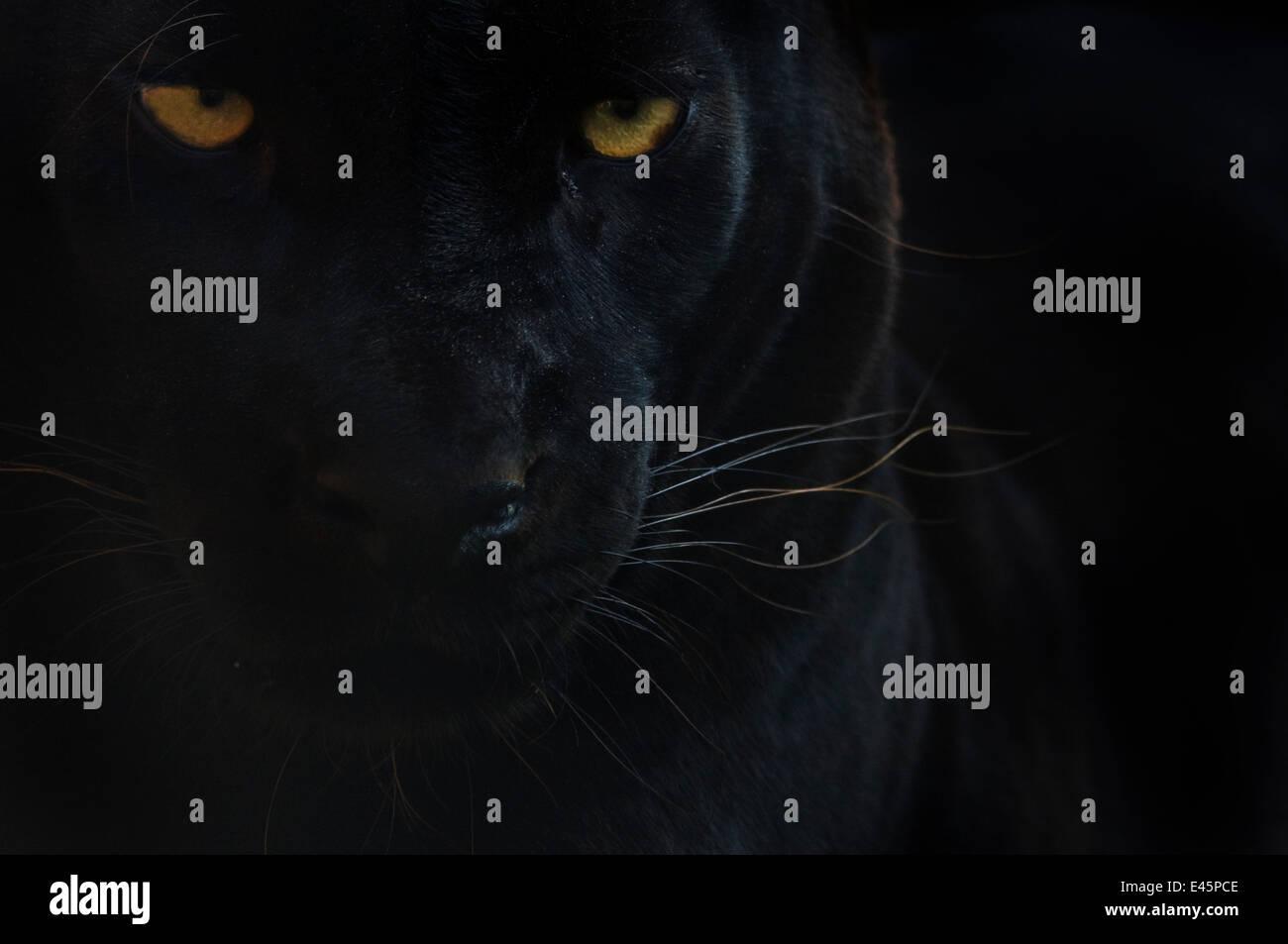 Chiudere la testa ritratto di melanistic / leopardo nero (Panthera pardus) captive Foto Stock