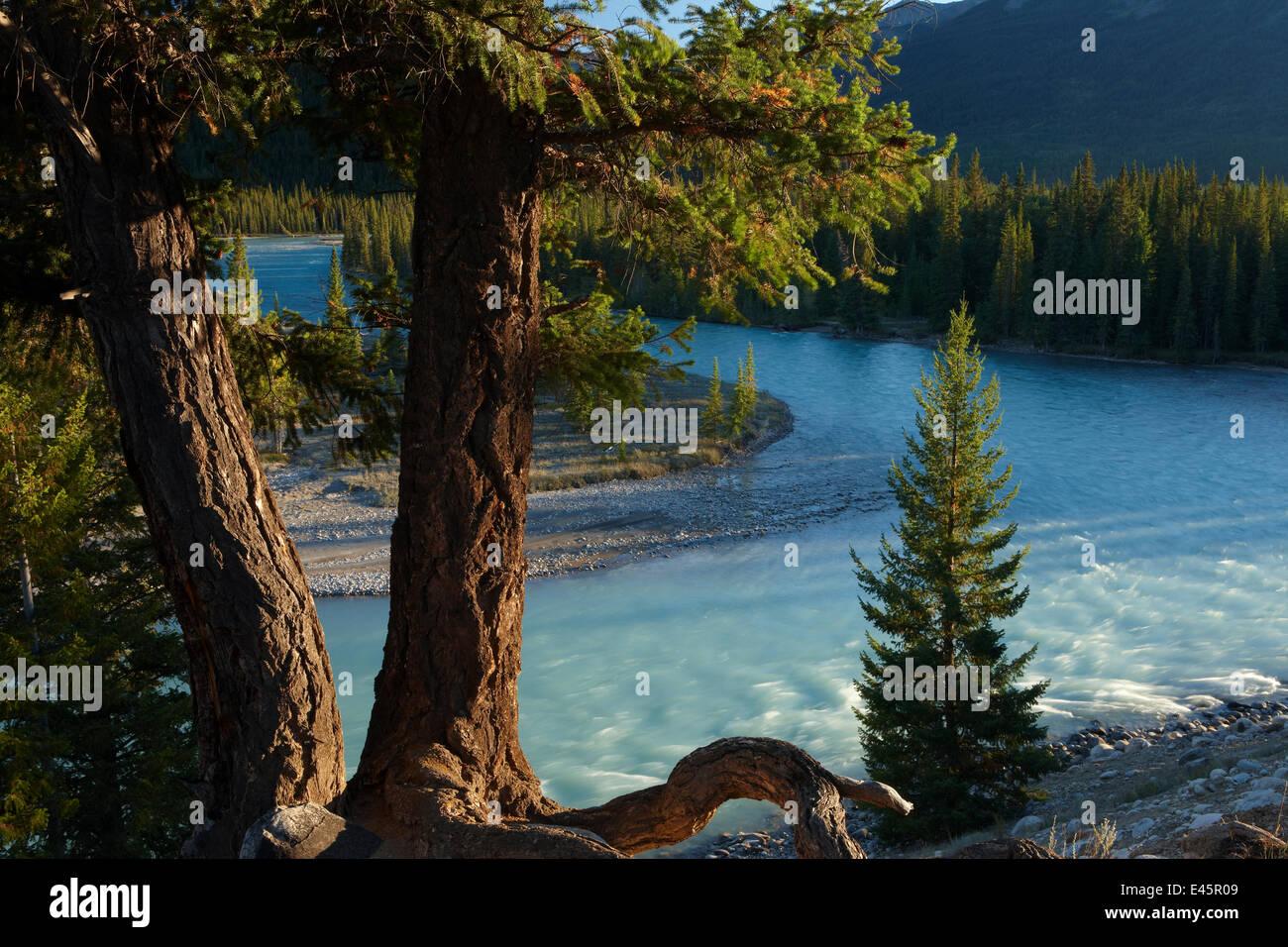 Alberi di pino dall'Athabasca River vicino a Jasper, Jasper National Park, Alberta, Canada. Settembre 2009 Immagini Stock