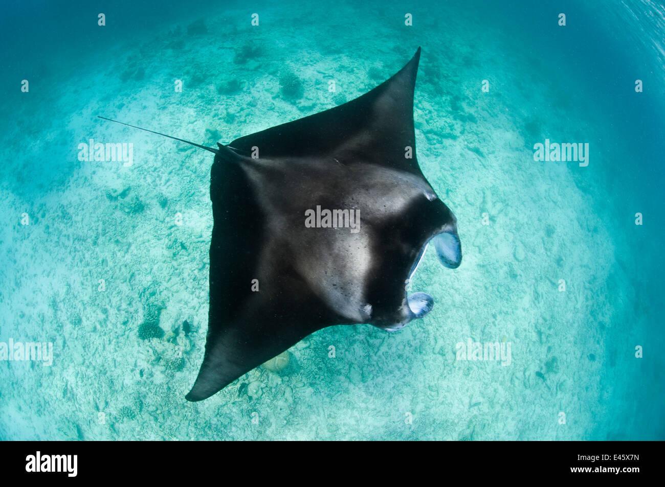 Grande Manta ray (Manta birostris) alimentazione di plancton in acque poco profonde, visto dalla superficie. Hanifaru Foto Stock
