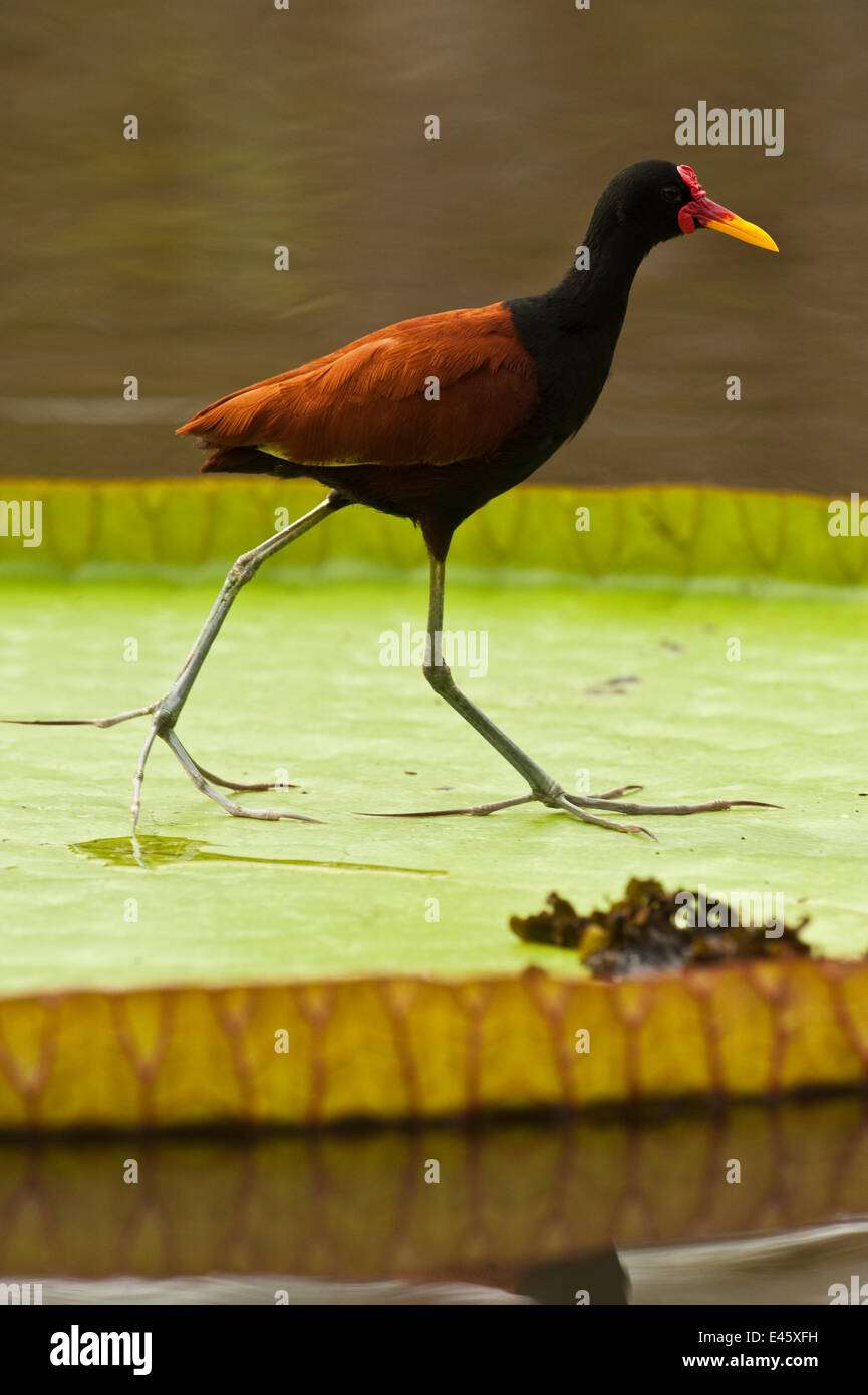 Wattled jacana (Jacana jacana) camminando sulla foglia di Royal giglio di acqua (Victoria amazonica) savannah, Rupununi, Immagini Stock