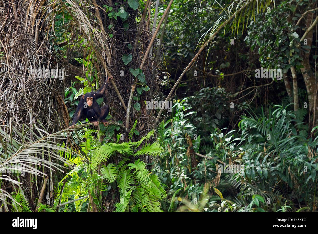 """Western scimpanzé (Pan troglodytes verus) femmina giovanile """"Joya' dai 6 anni in seduta gli alberi, Immagini Stock"""